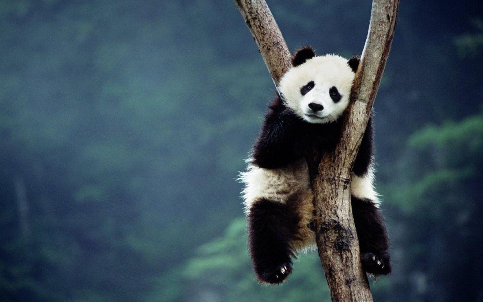 AmazingPict.com | Cute Panda Bears Wallpaper High Resolution