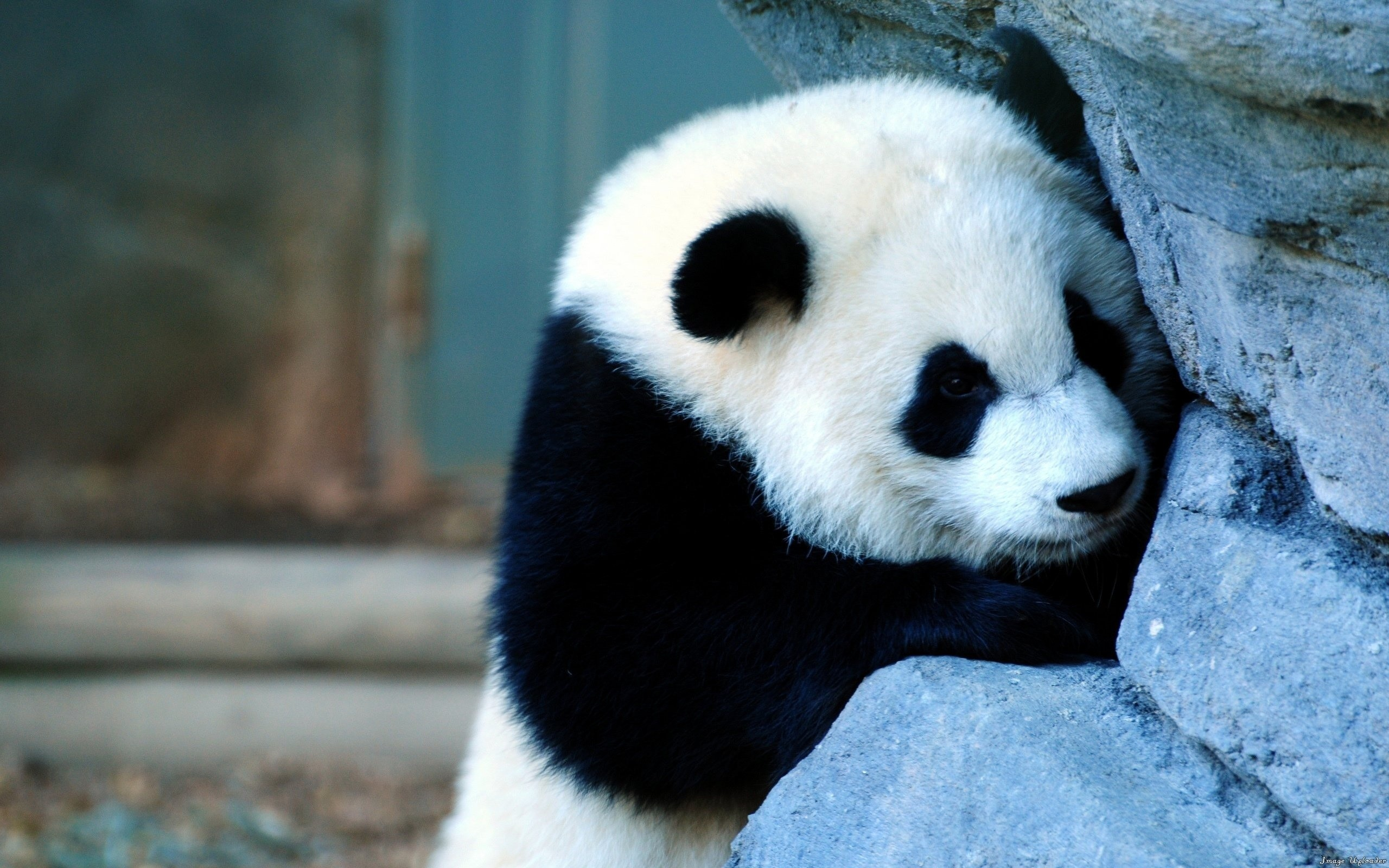 Cute Panda Photos Wallpaper | wallpapers55.com – Best Wallpapers for .
