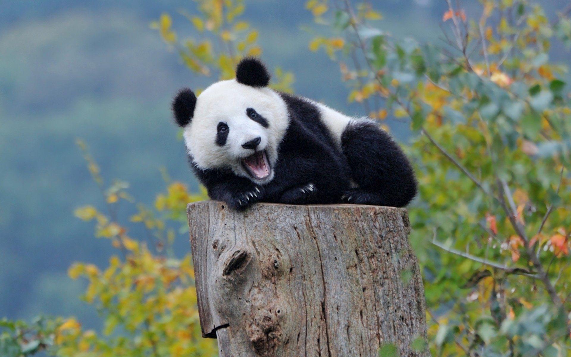 Baby Panda Cute Wallpaper For Desktop, Laptop & Mobile