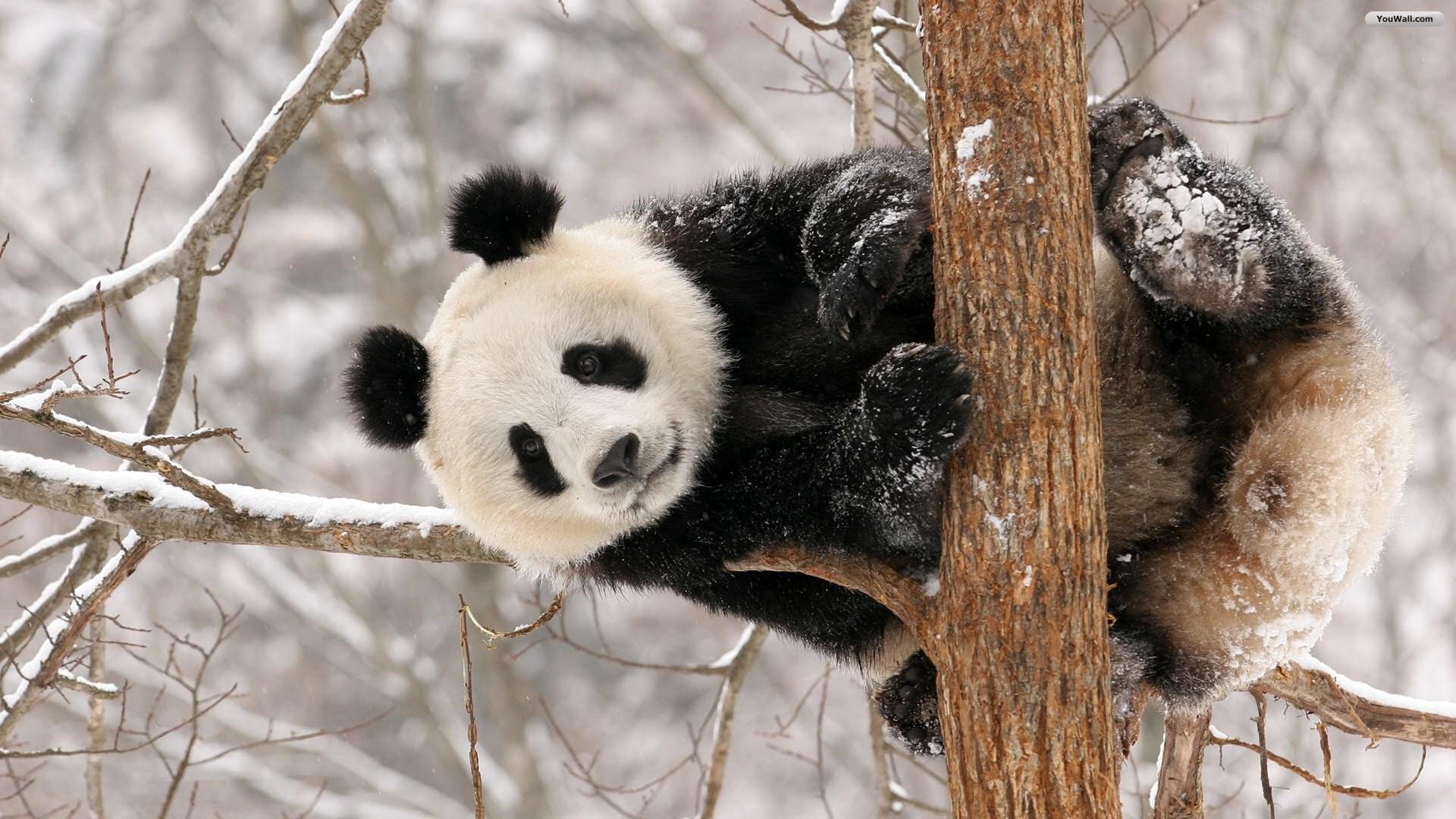 YouWall – Cute Panda Wallpaper – wallpaper,wallpapers,free wallpaper .