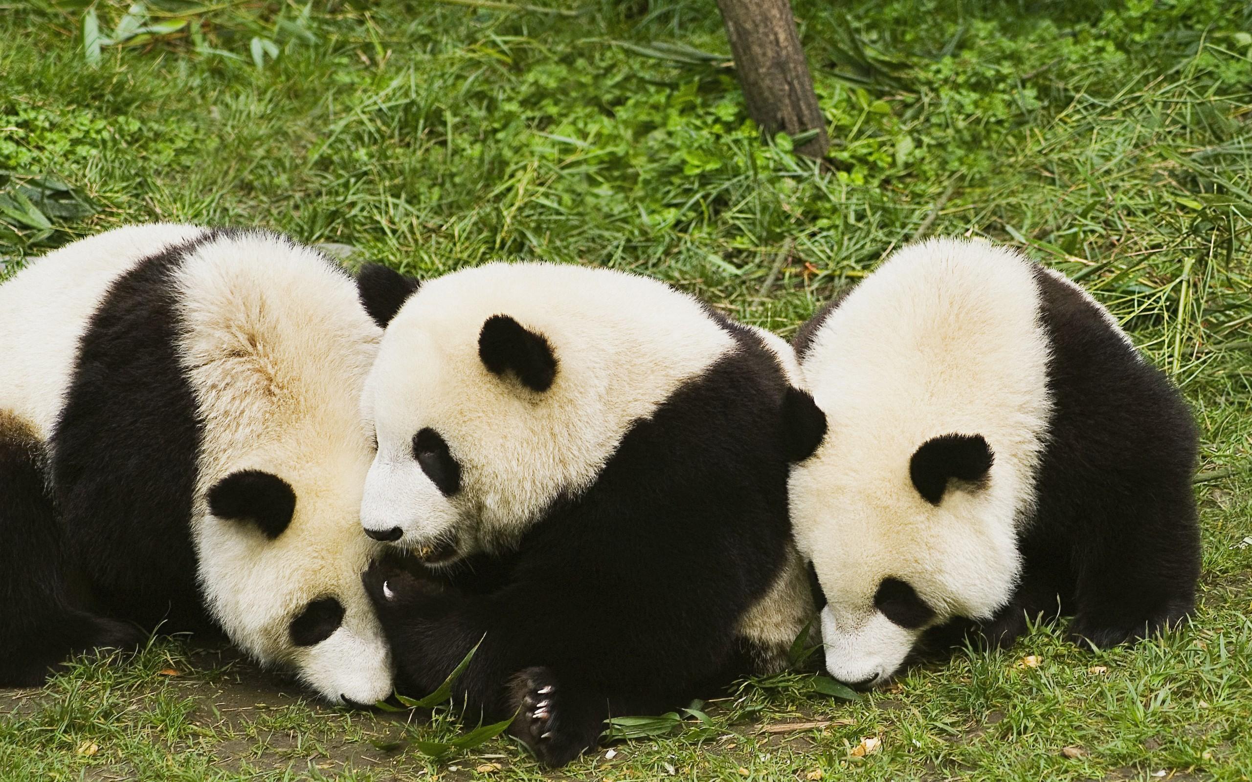 hd cute panda photos tumblr