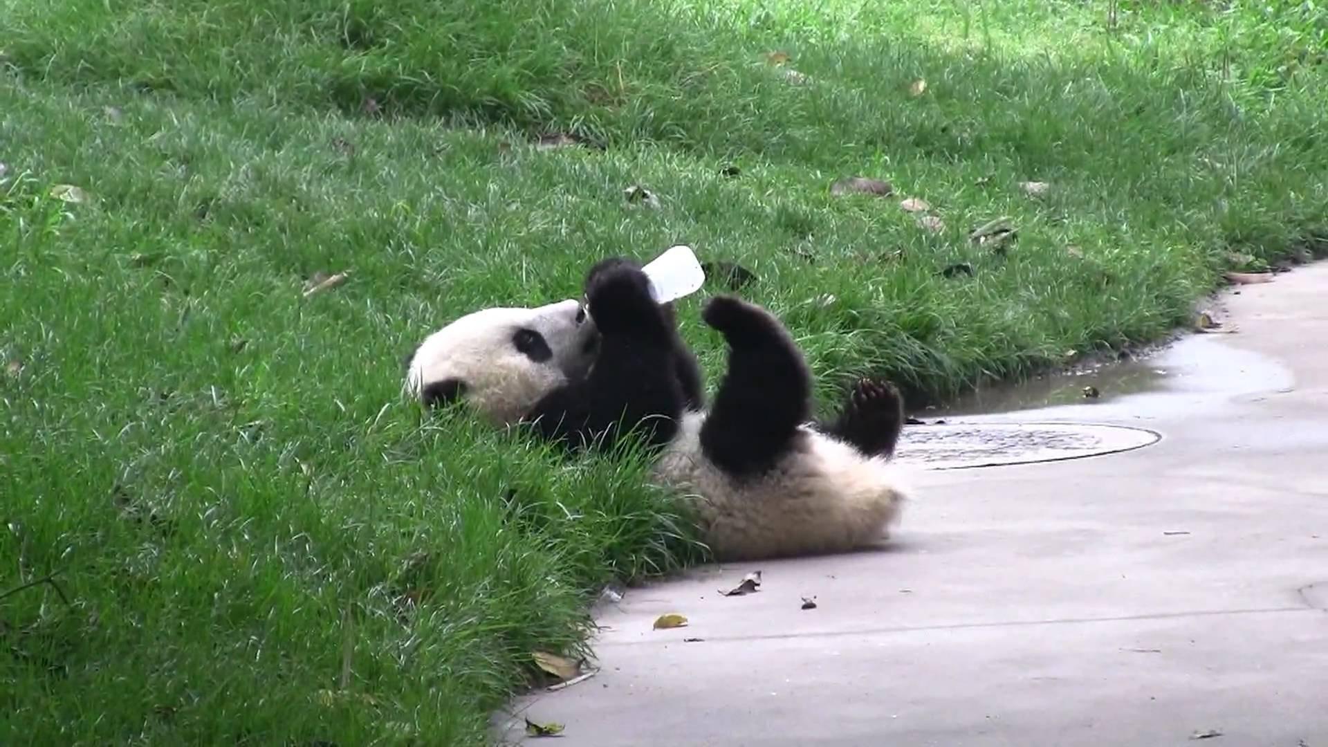 Panda pandas baer bears baby cute (12) wallpaper | | 364440 .