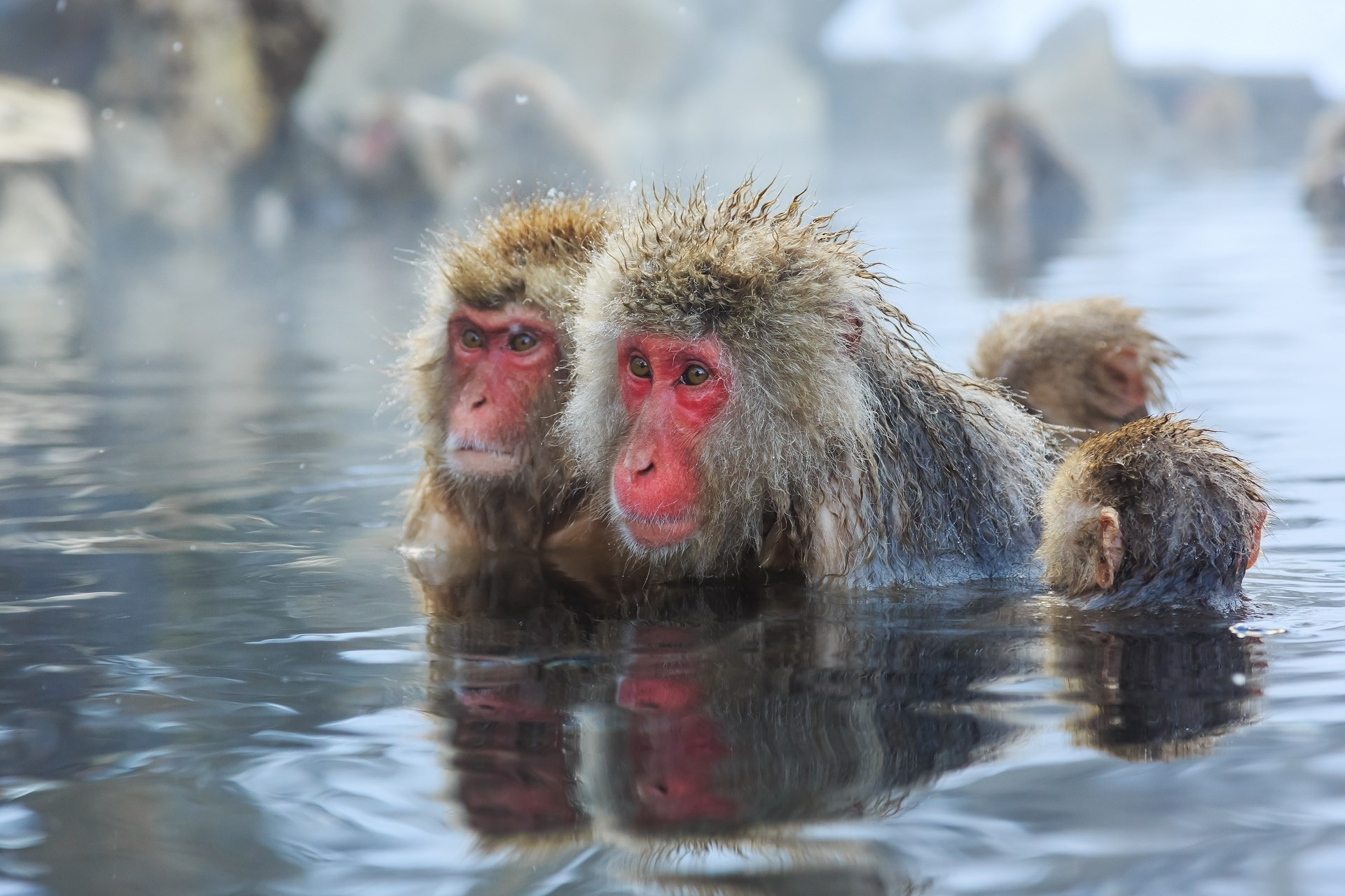 free wallpaper and screensavers for japanese macaque, 441 kB – Nevaeh  Holiday