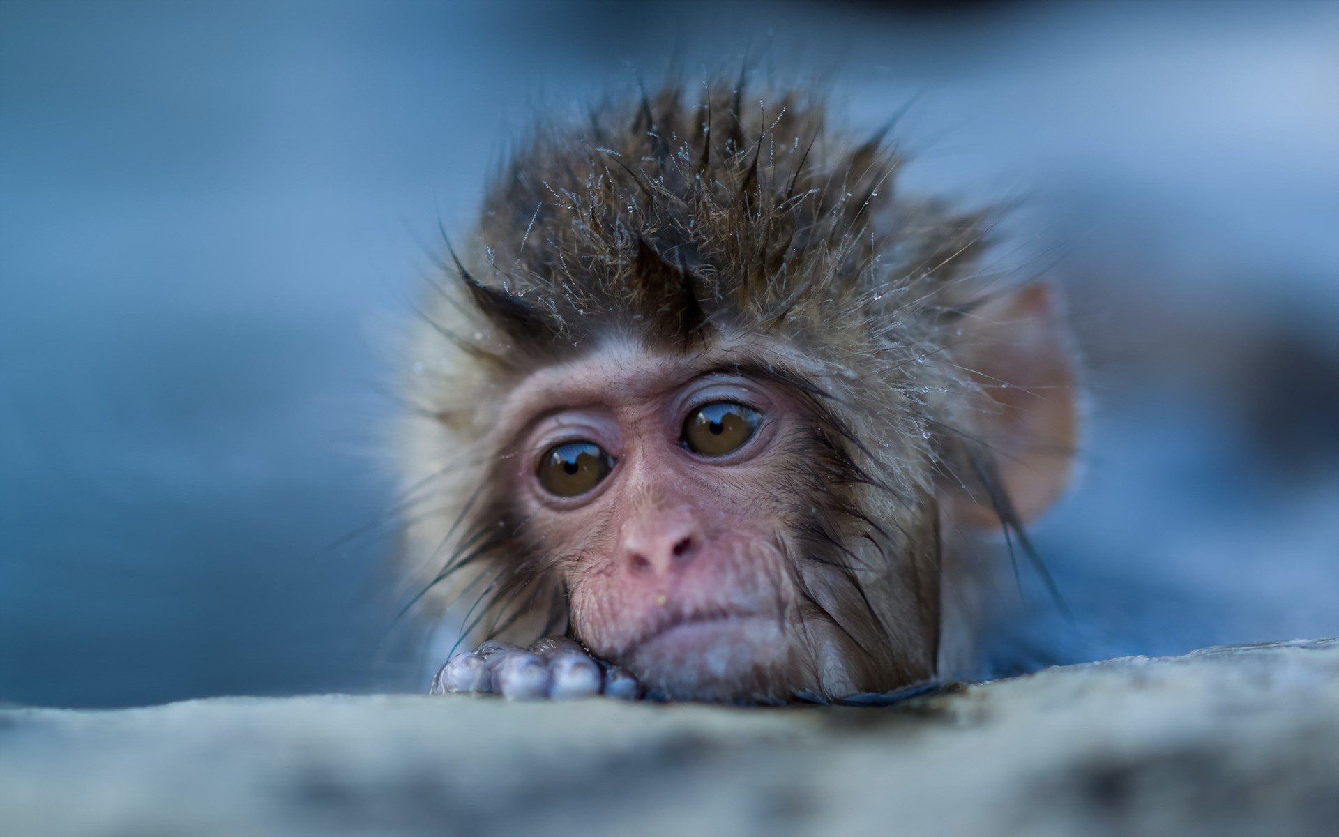 free wallpaper and screensavers for japanese macaque, (228 kB)