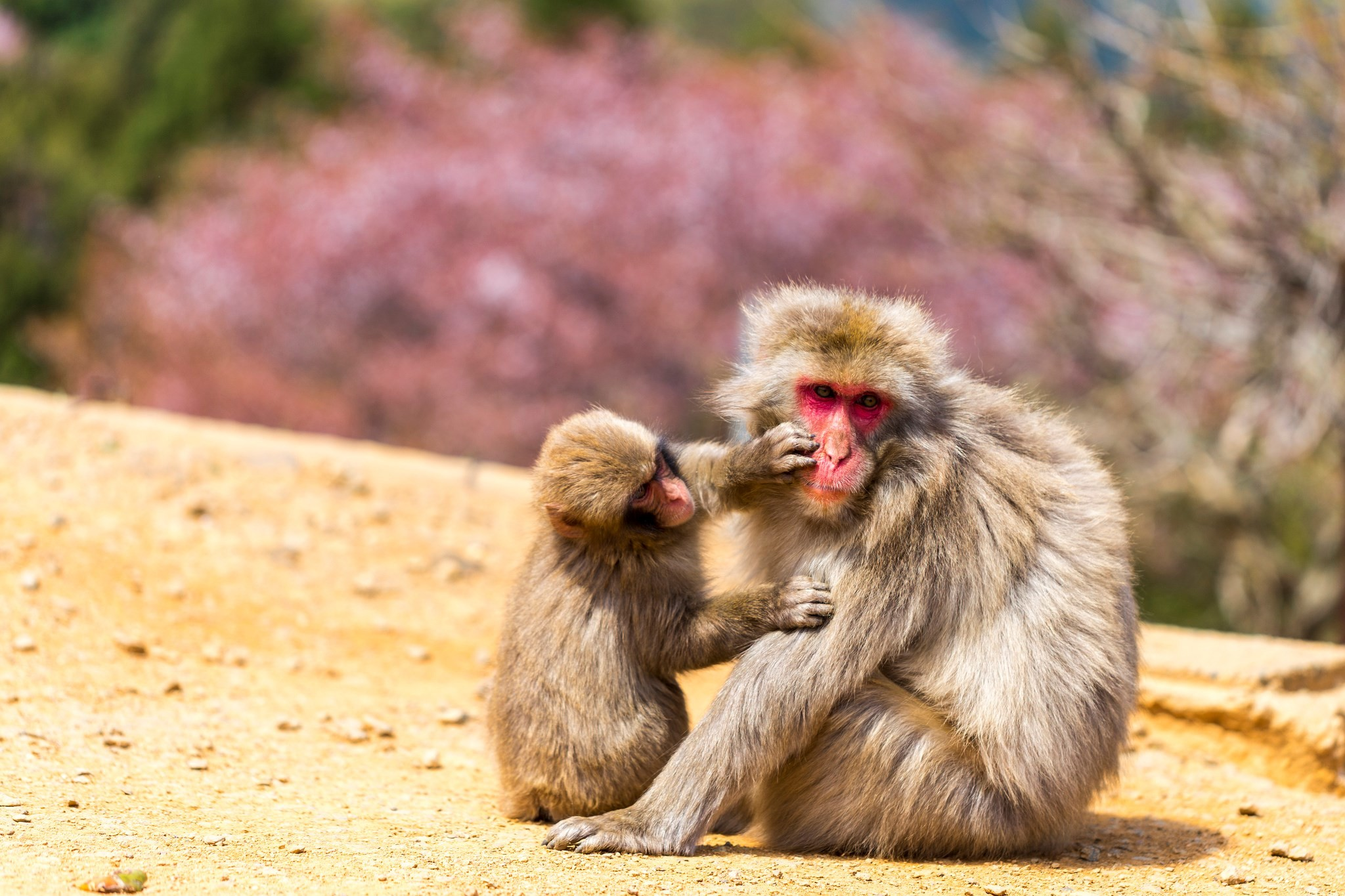 free wallpaper and screensavers for japanese macaque, Windsor Archibald  2017-03-01