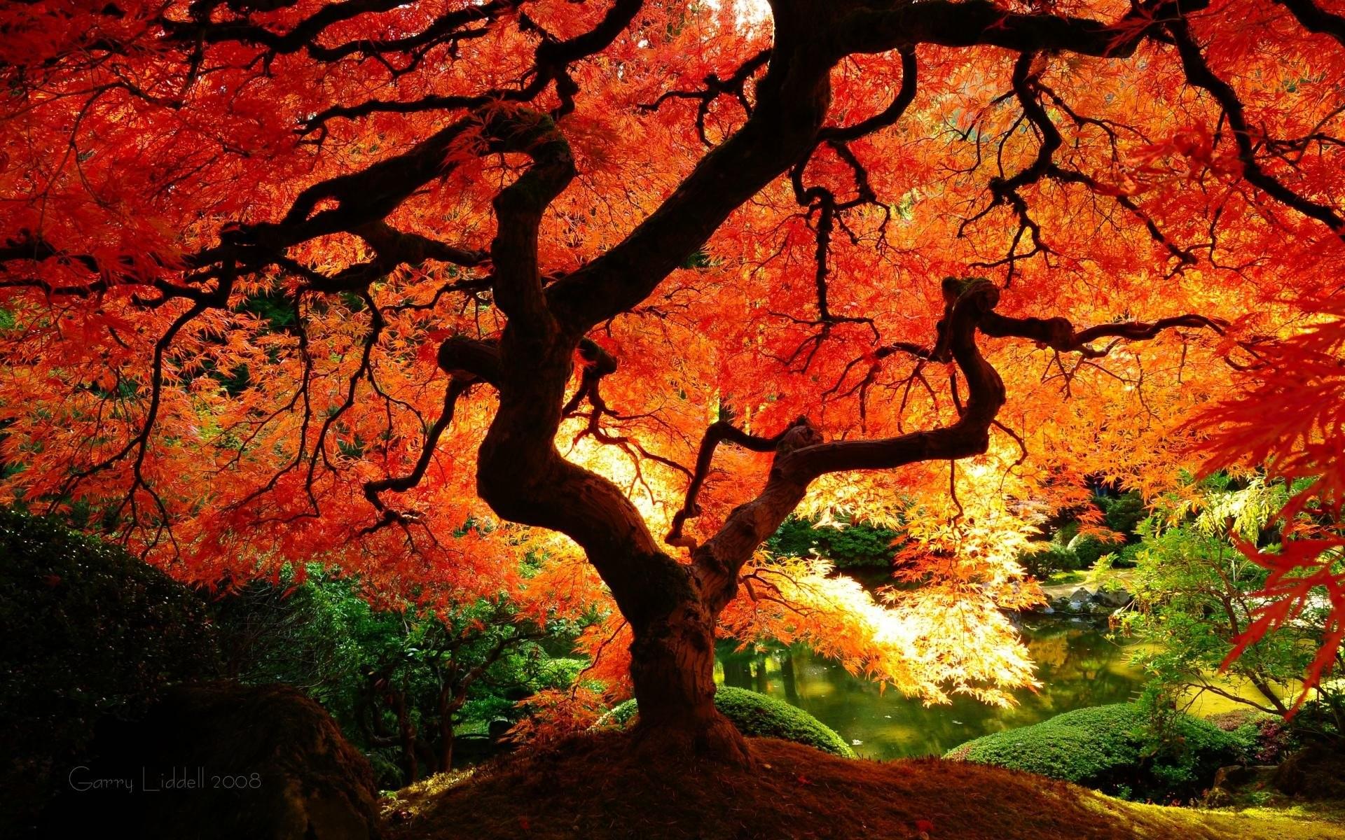 Japanese Maple Fall 482082
