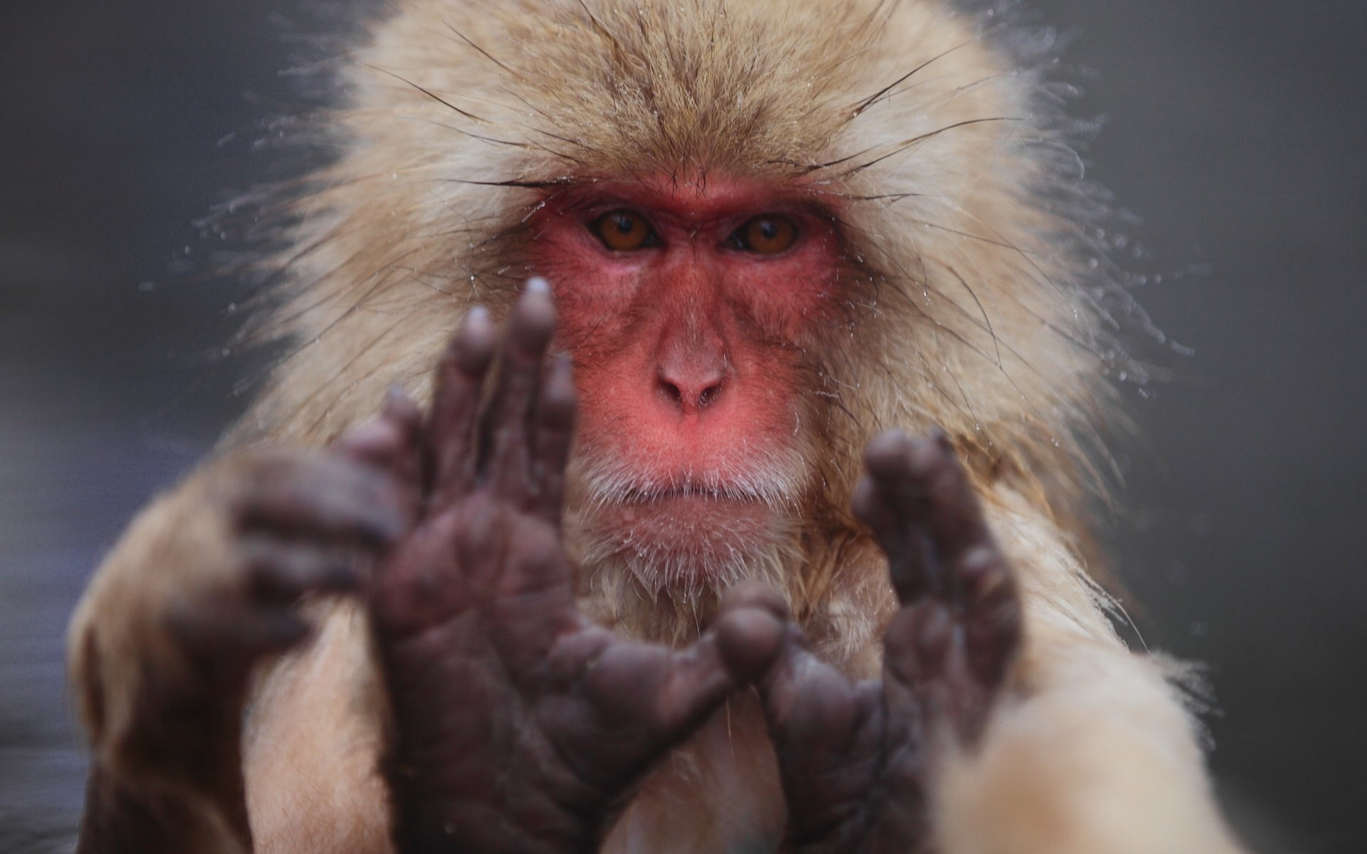 free desktop wallpaper downloads japanese macaque – japanese macaque  category