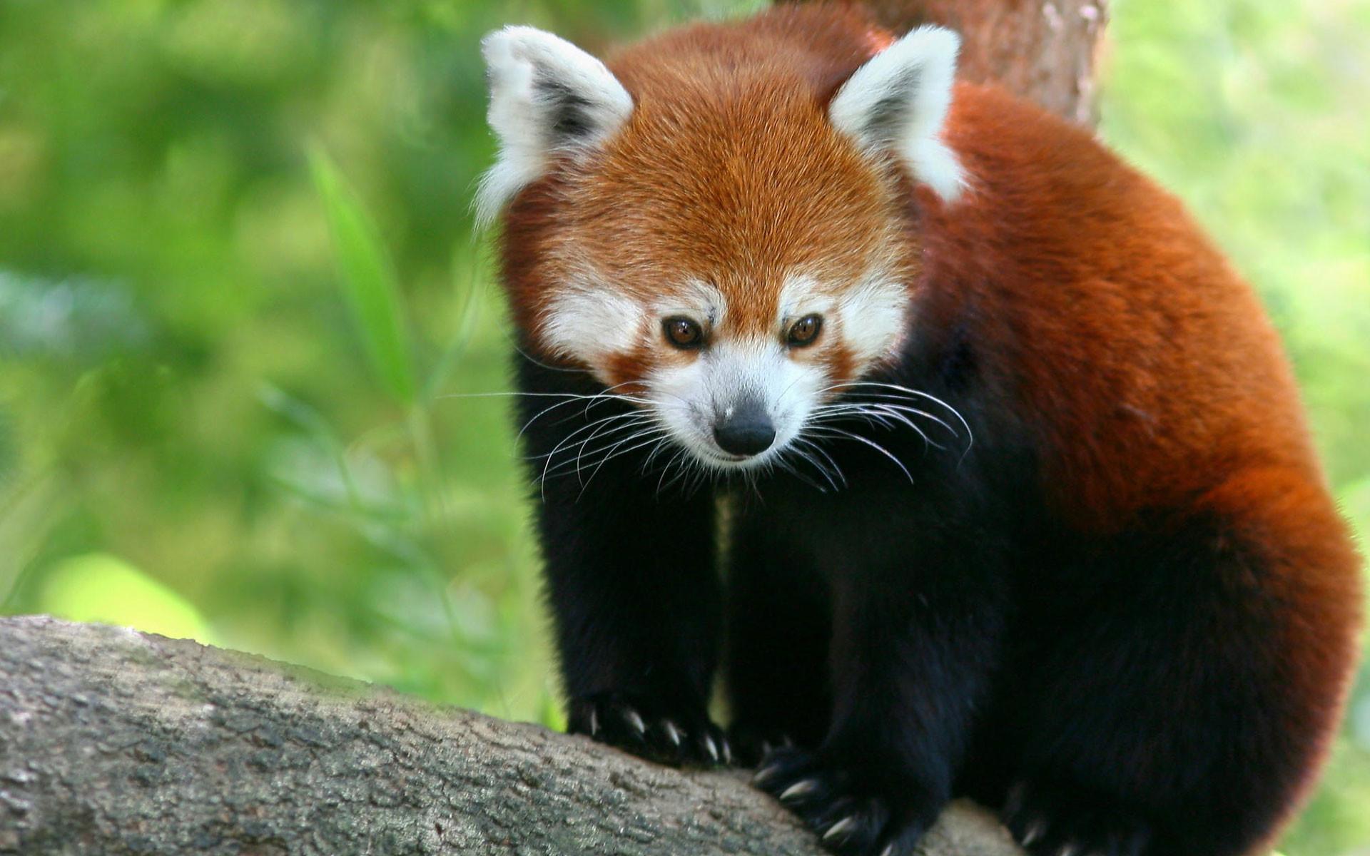 Red Panda Wallpapers | HD Wallpapers