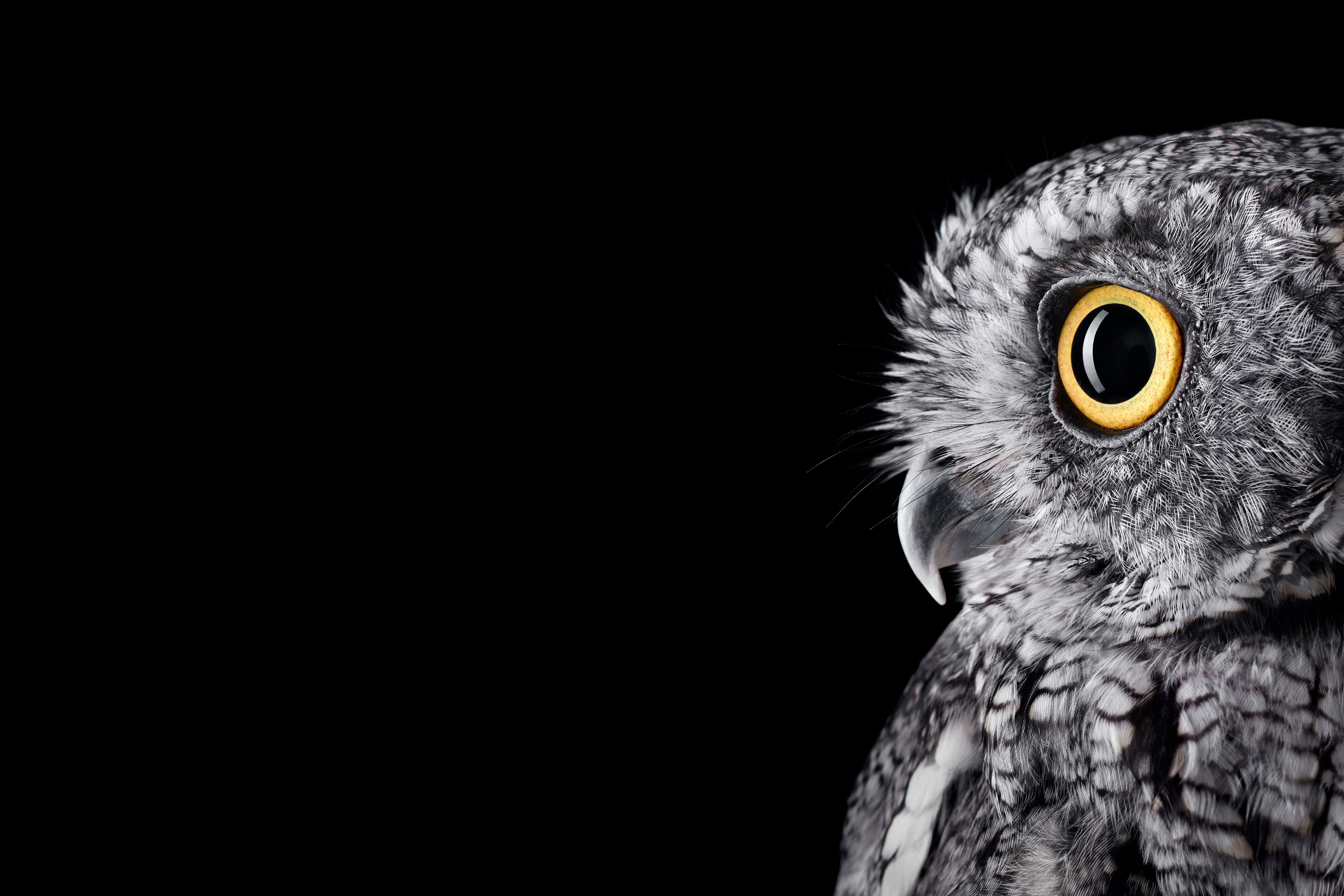 [Studio]I formatted the Surface Studio Owl wallpaper for your Surface  (PNG) …
