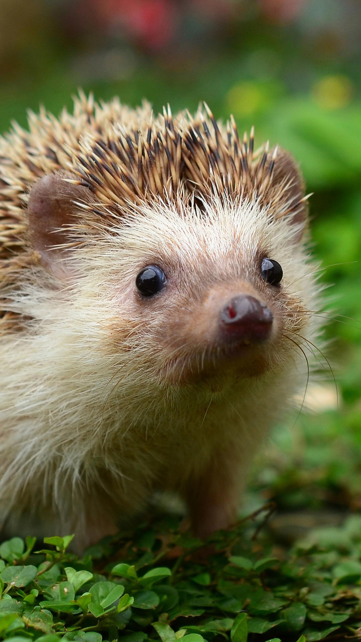 Cute hedgehog Galaxy S6 Wallpaper