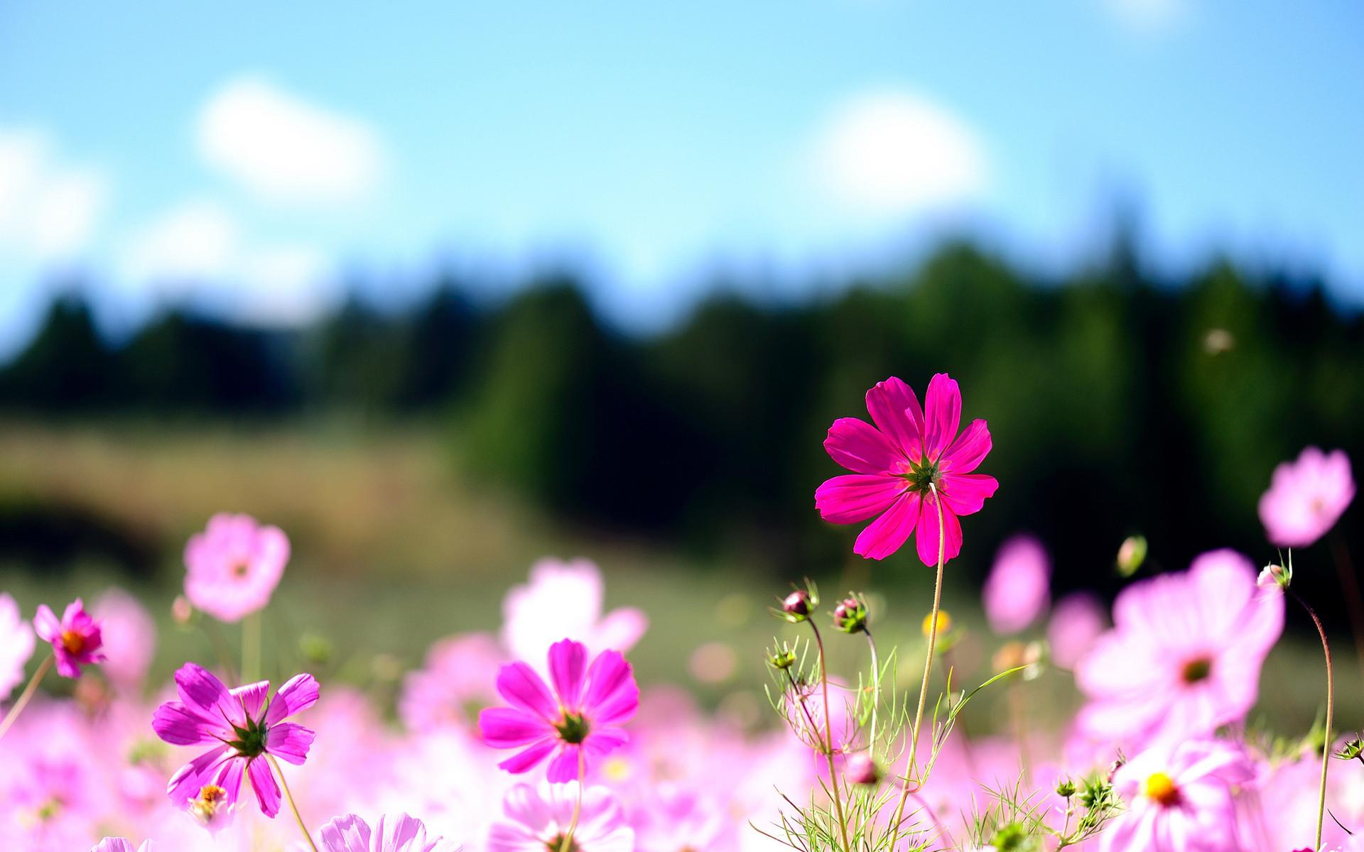 Cool Flowers Desktop Backgrounds: Pink Flowers High Definition .
