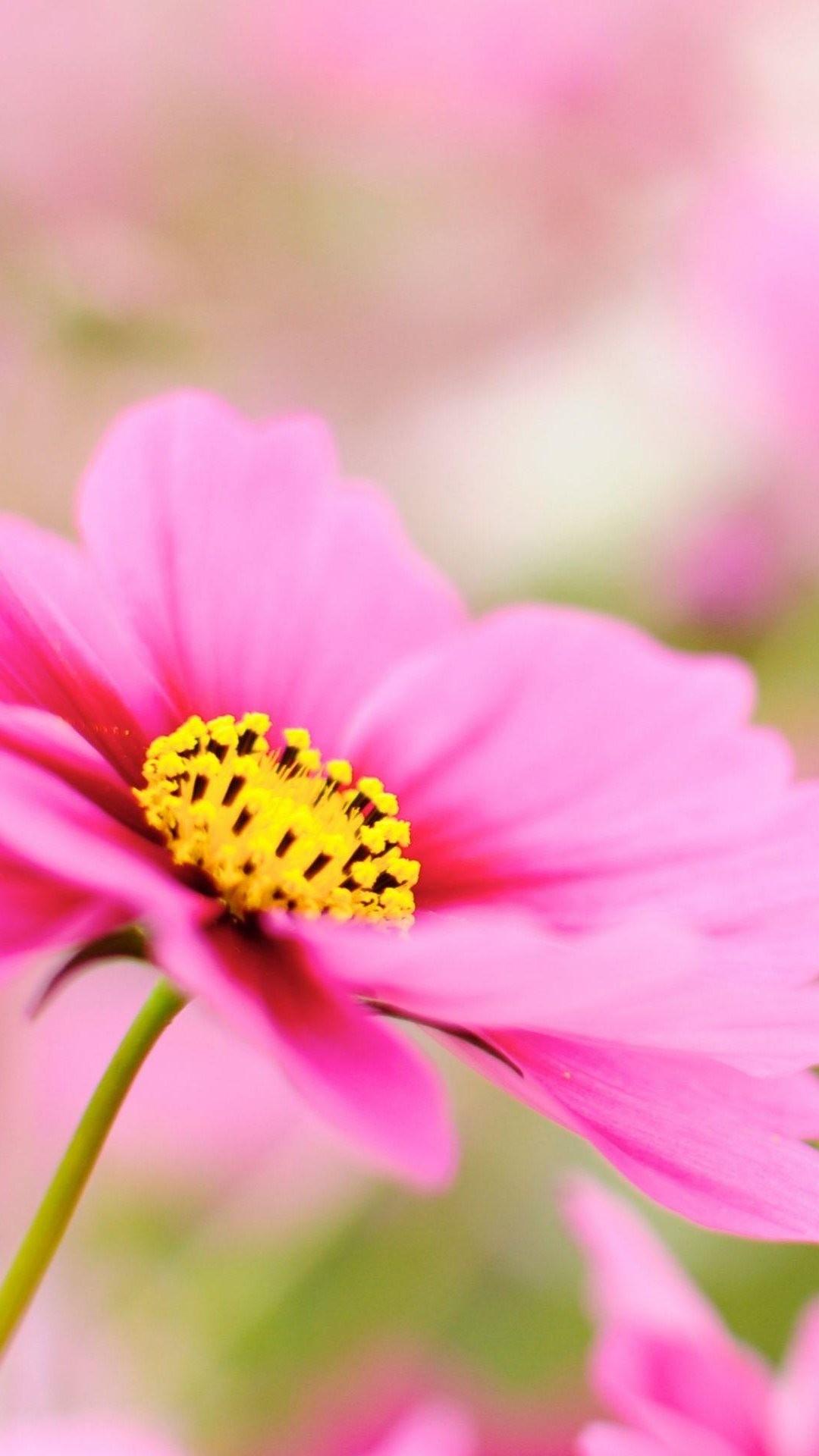 Pink Dahlia Macro Flower iPhone 6 Plus HD Wallpaper …