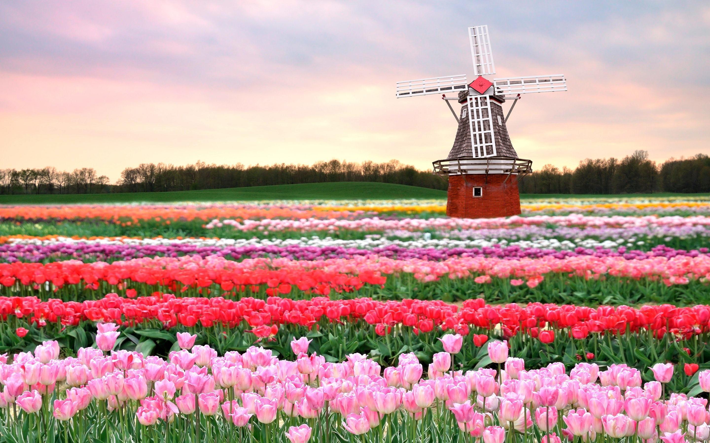 Tulip Fields in Netherlands Wallpaper Of Beautiful Flowers