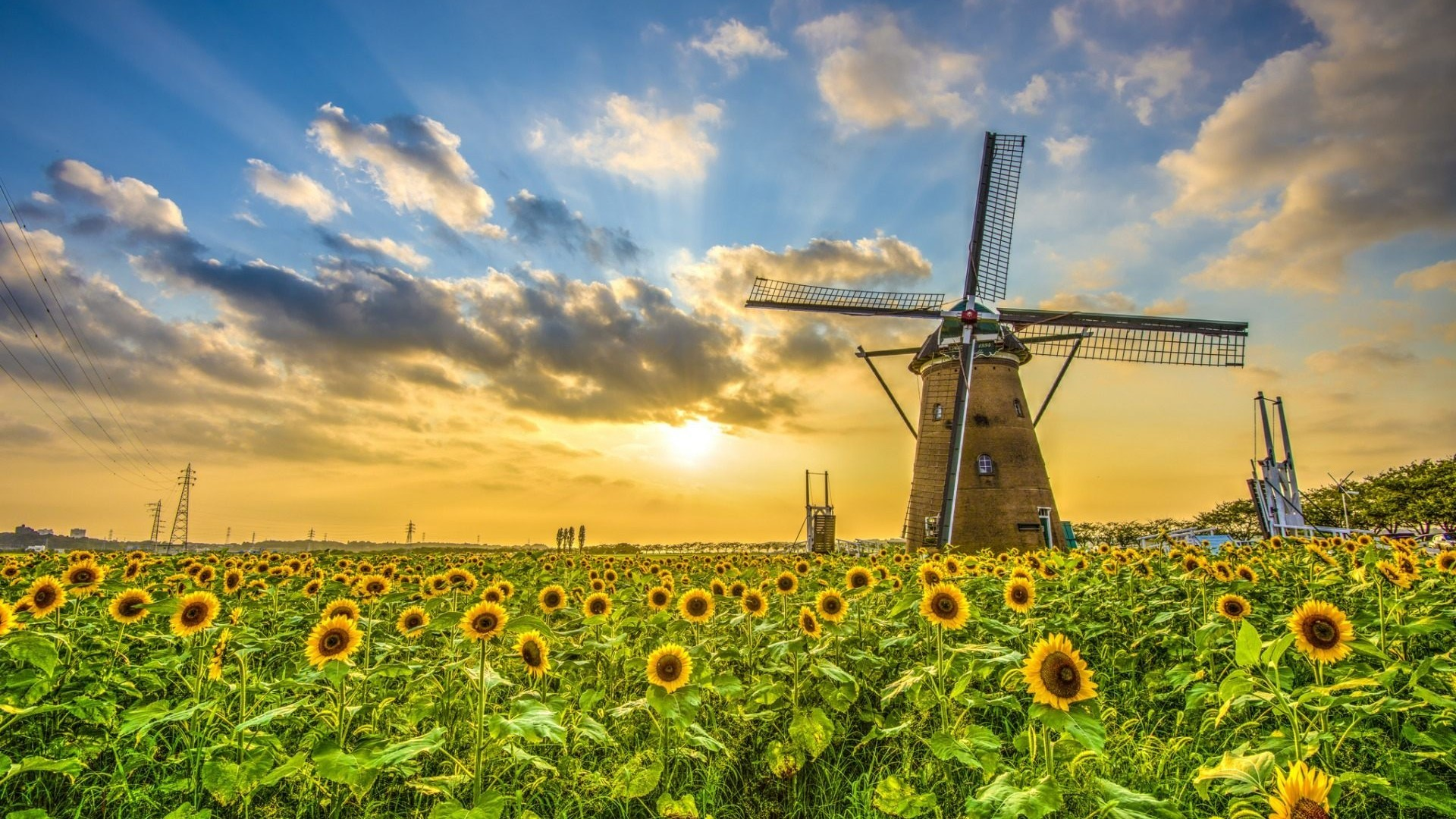 Windmill Farms Sunflower Field Wallpaper