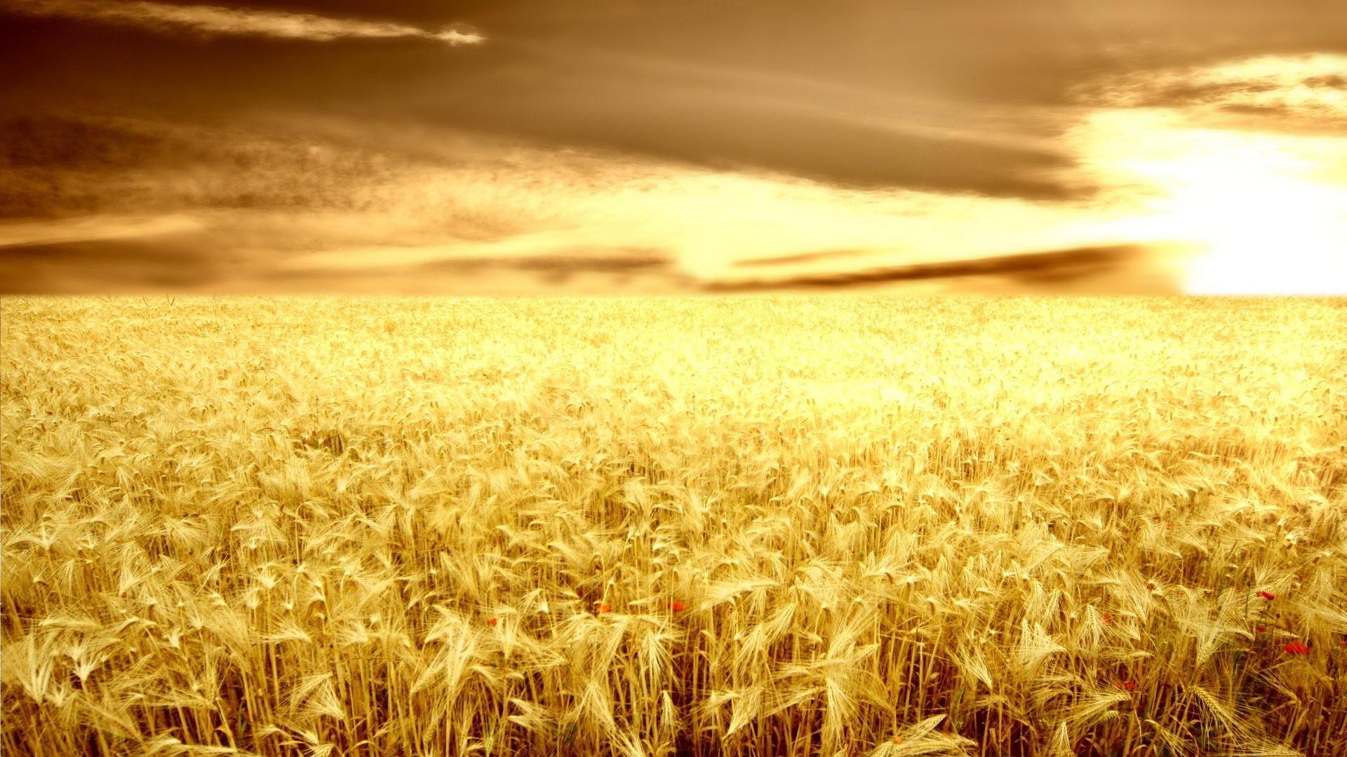 Sanset Farm Ears Cultivation Grain Desktop Background Images – 1920×1200
