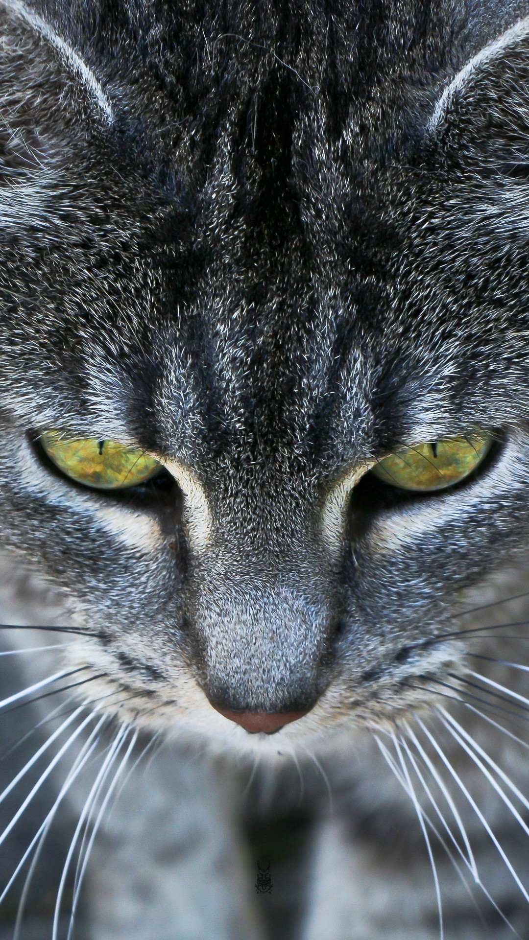 Animals iPhone 6 Plus Wallpapers – Grey Cat Ember Eyes iPhone 6 Plus HD  Wallpaper #