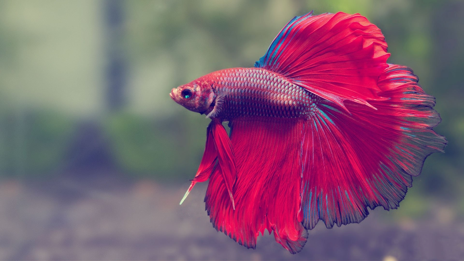 Underwater Tag – Siamese Tropical Betta Fish Fighting Psychedelic  Underwater Best Live Wallpaper Android for HD