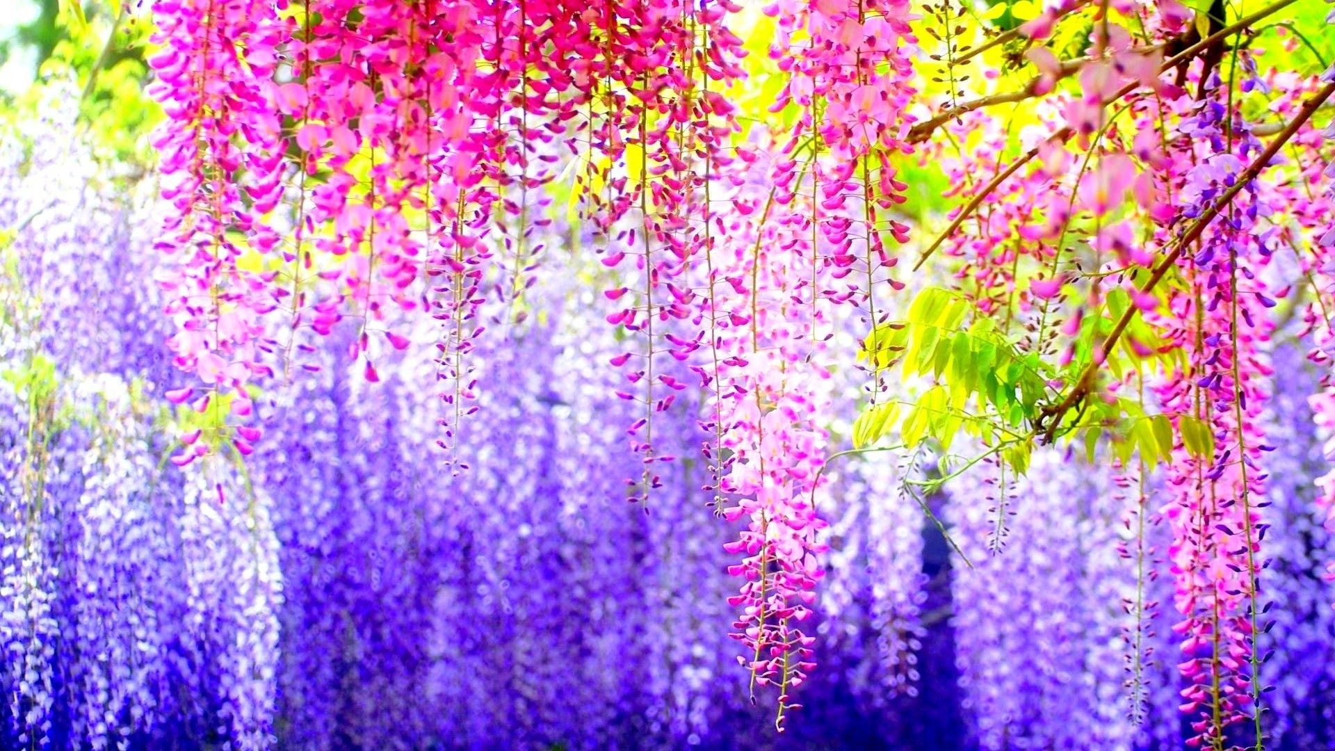177-spring-background 2595829 6922240-amazing-flowers-pictures …