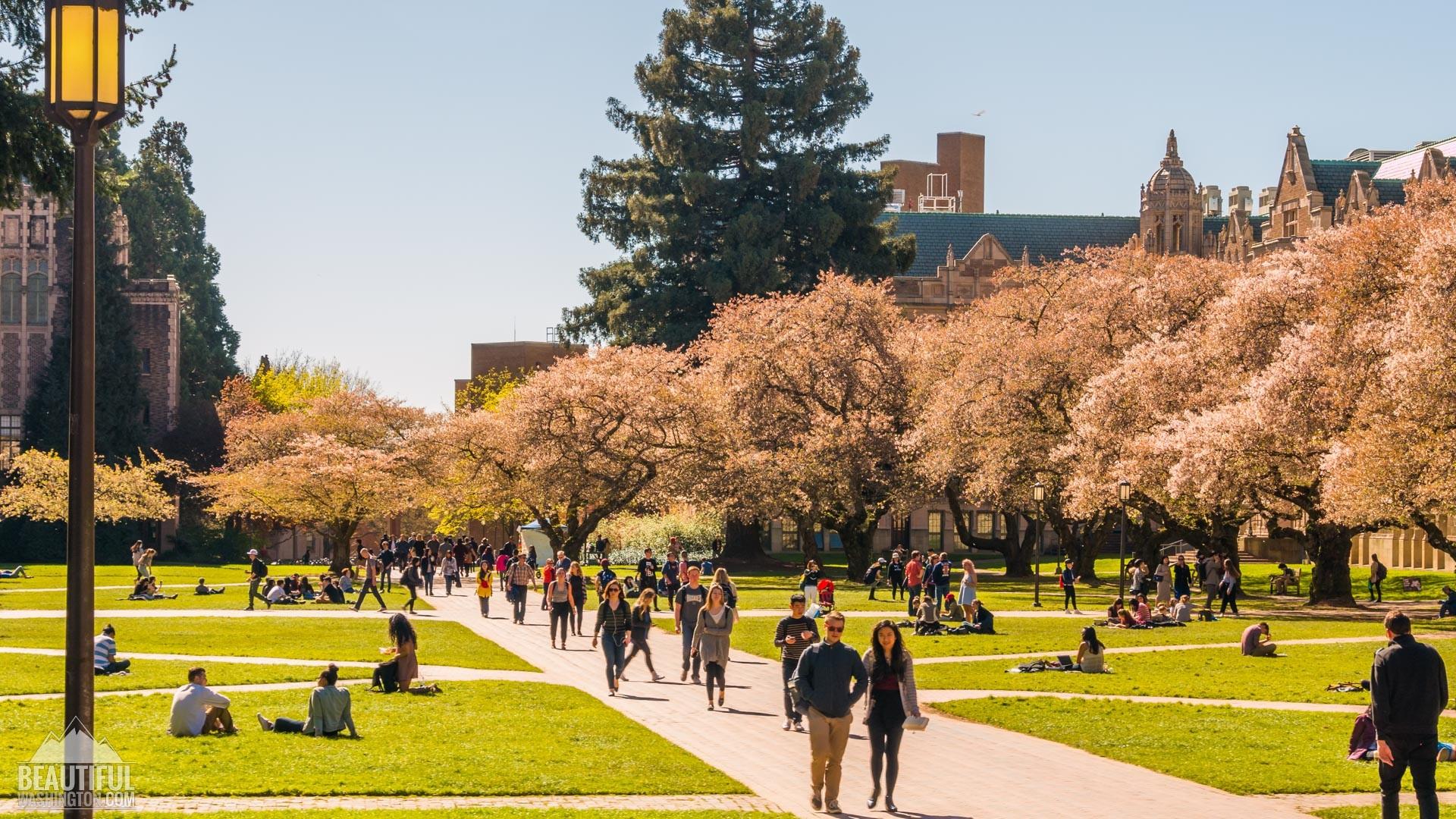 Cherry Blossoms 80 Cherry Blossoms 80 …