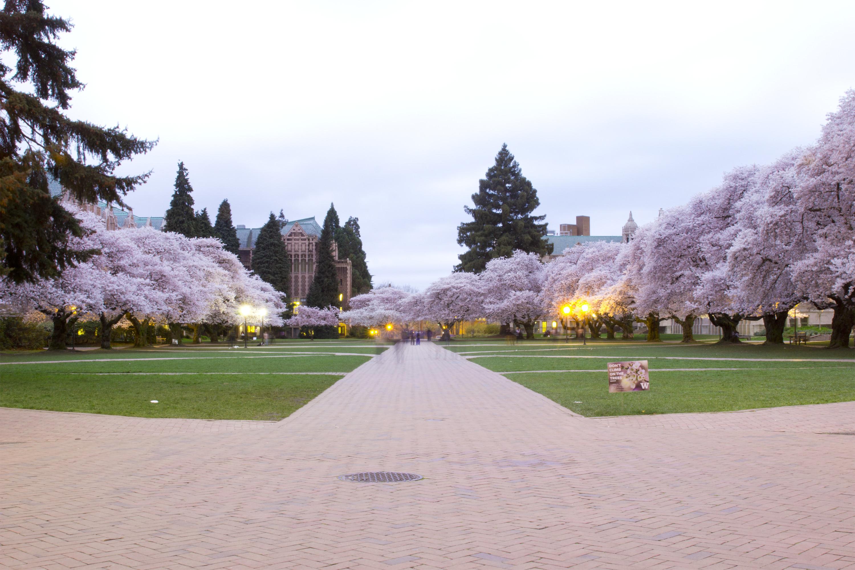 Stereotypical UW Quad Cherry Blossom Shots