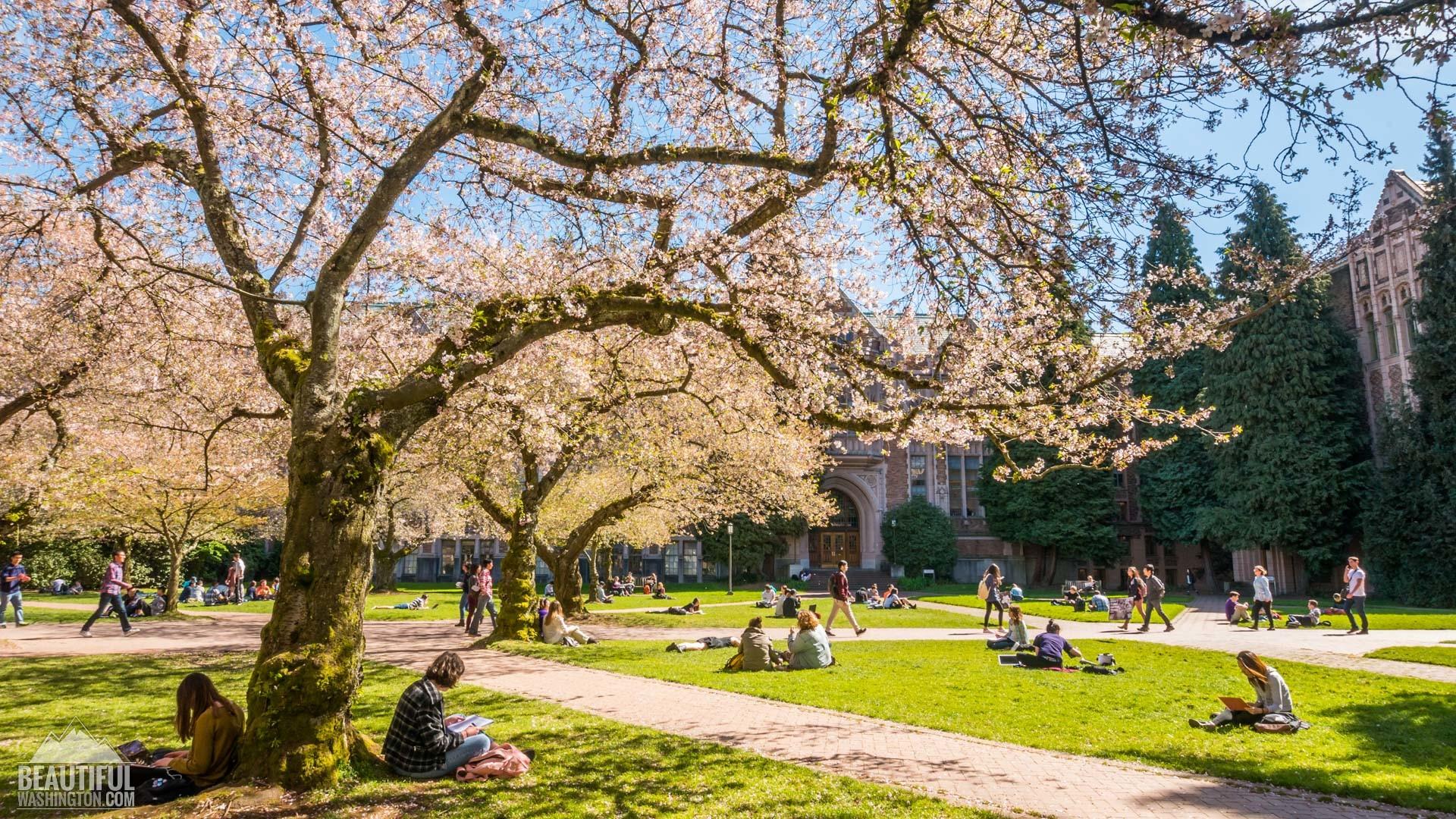 Cherry Blossoms 71 Cherry Blossoms 71 …