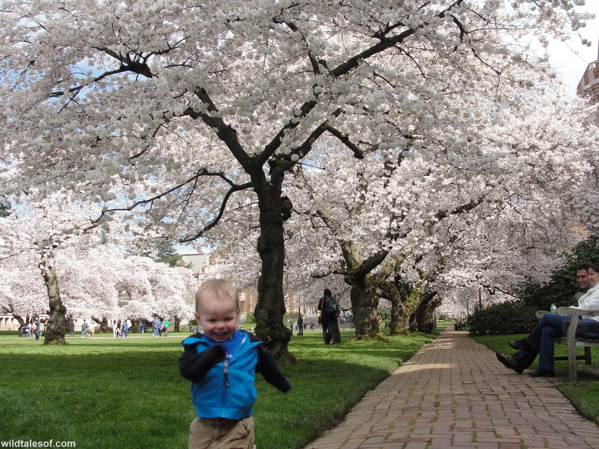 Cherry Blossoms UW Quad Kate Spiller