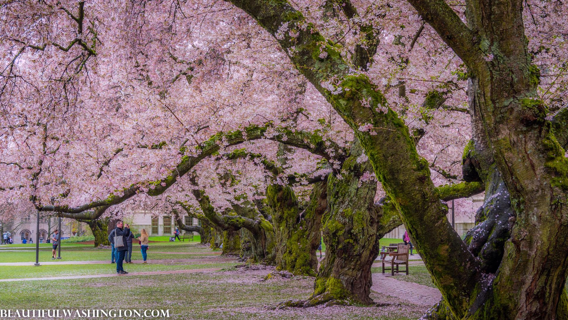 Cherry Blossom at the University of Washington, 2017 Cherry Blossom at the University  of Washington, 2017 …