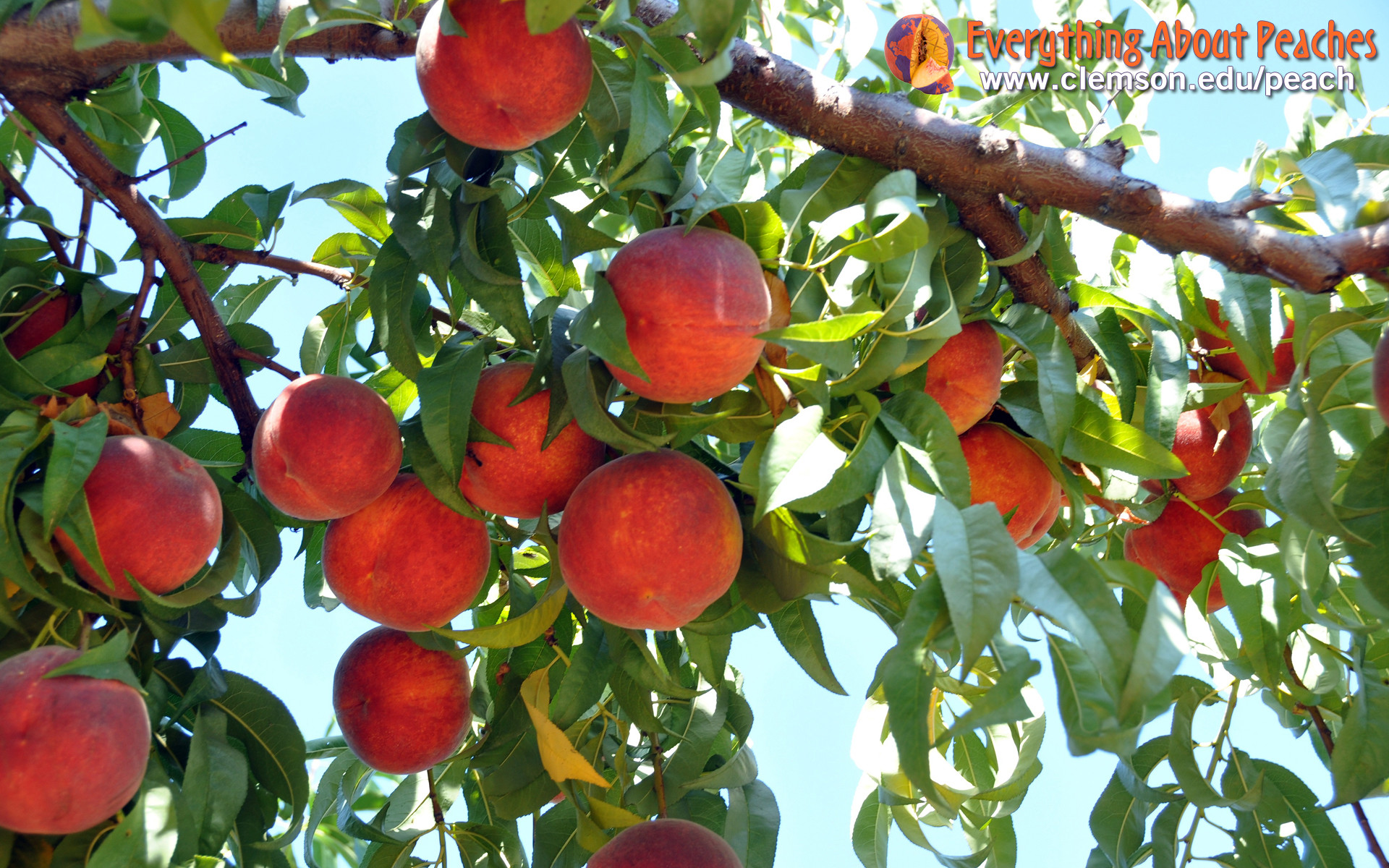 Everything About Peaches