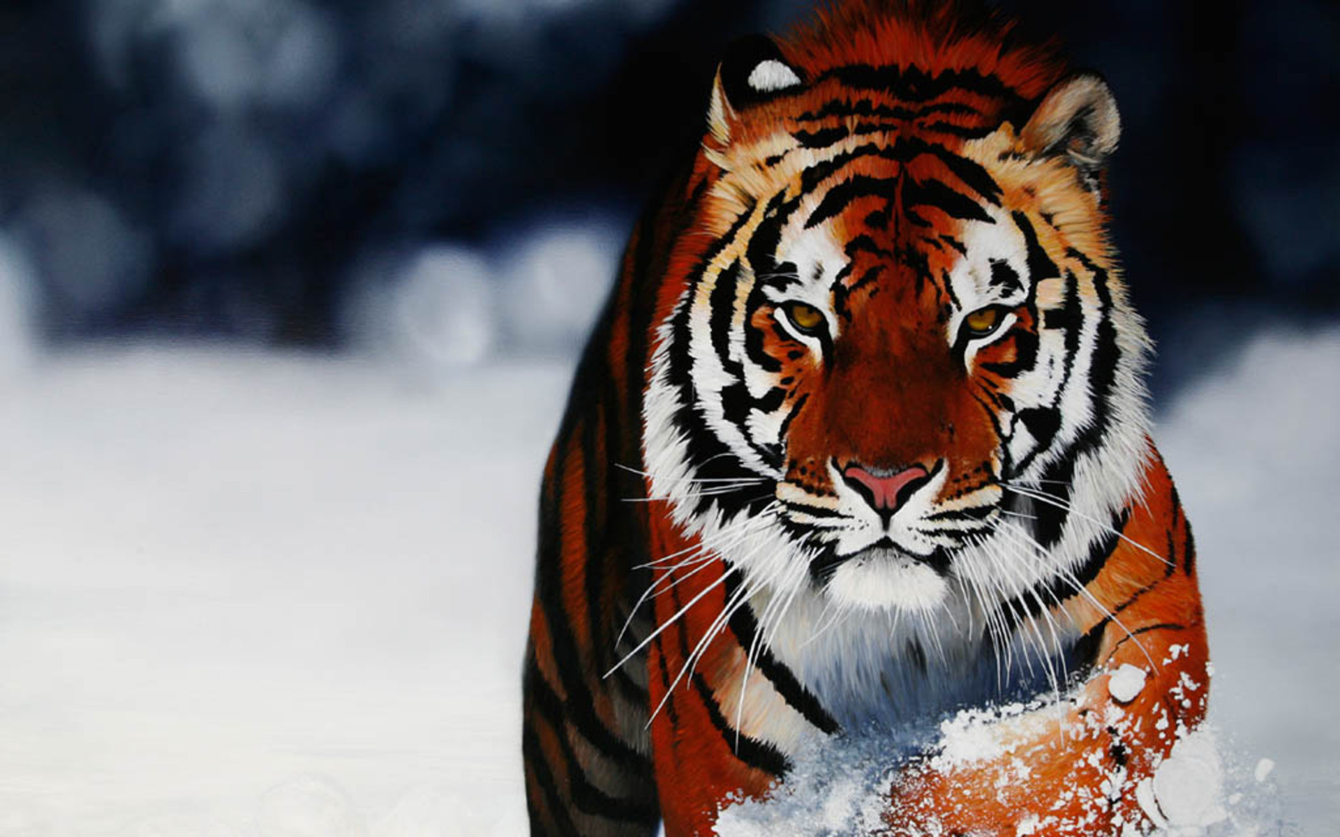 Wallpapers Collection «Baby Tiger Wallpapers»