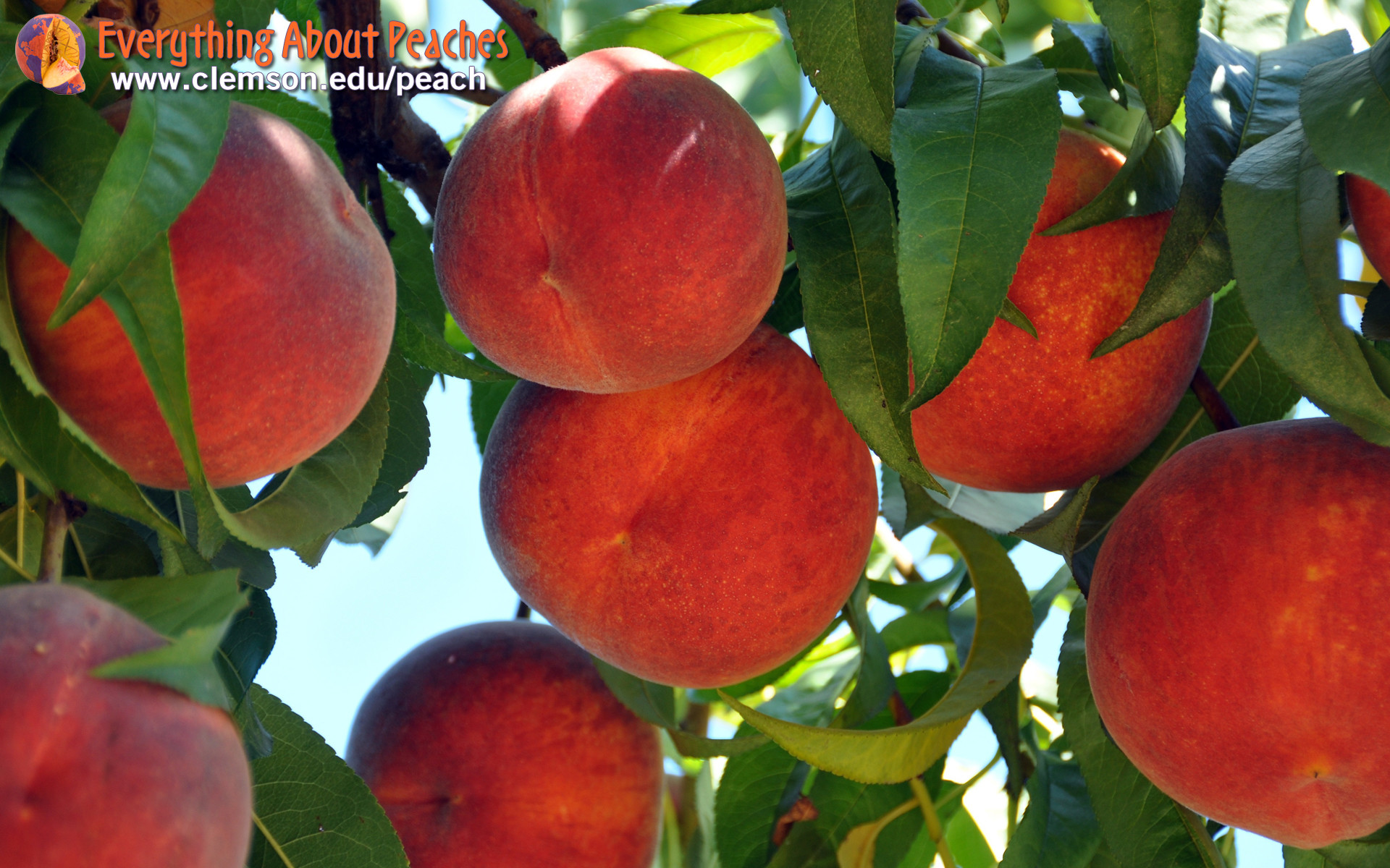 ripe peaches on a tree with bright blue sky background