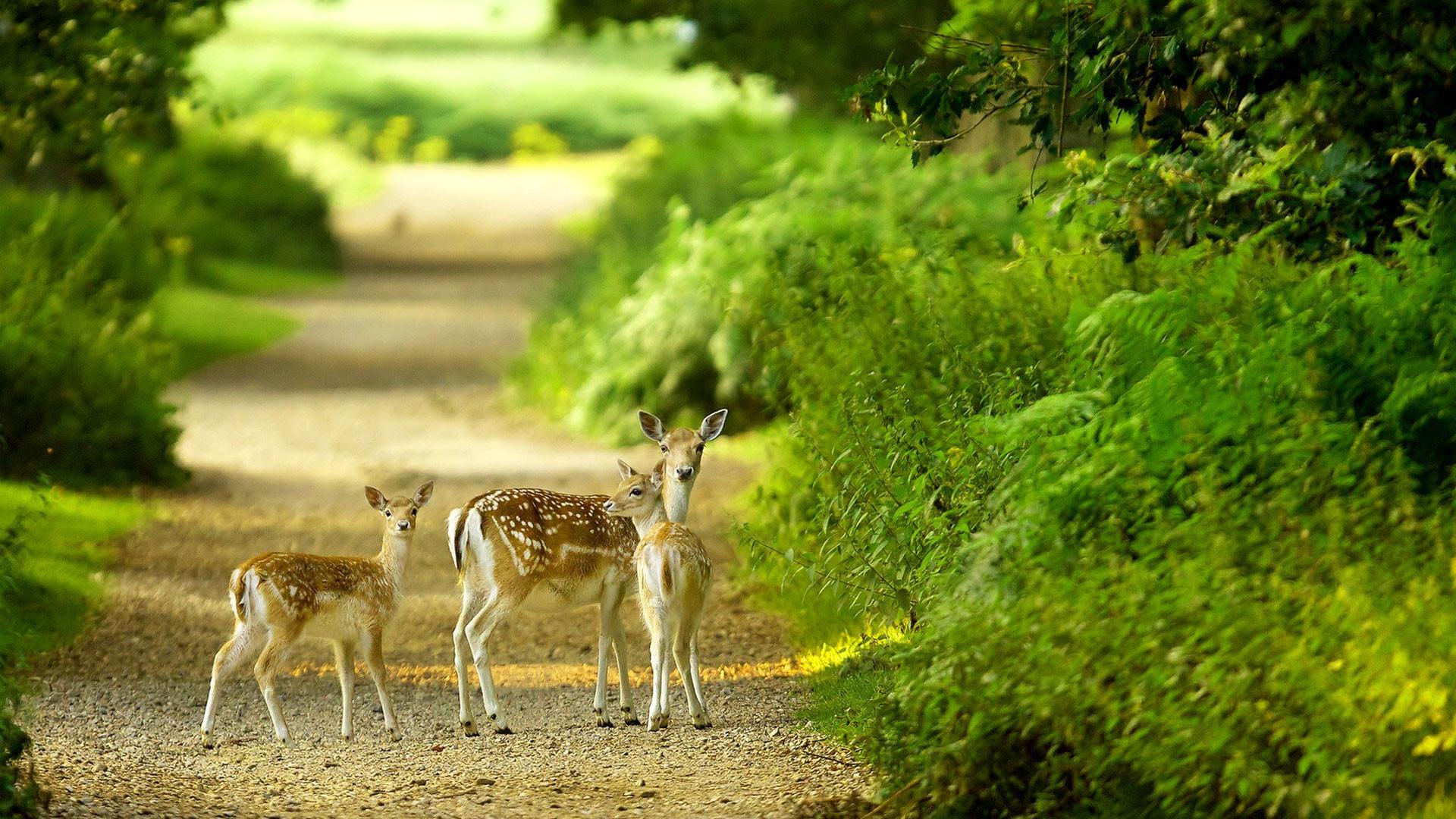 Beautiful baby deer pictures hd 1080p desktop.