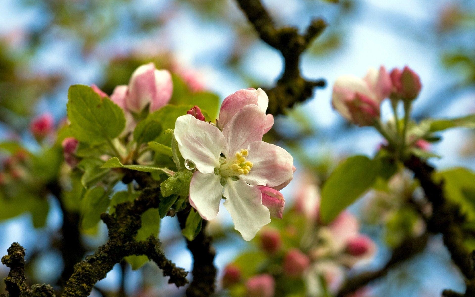 Wallpaper HD Apple Blossoms, Apple Blossom wallpaper – 1920×1200 .