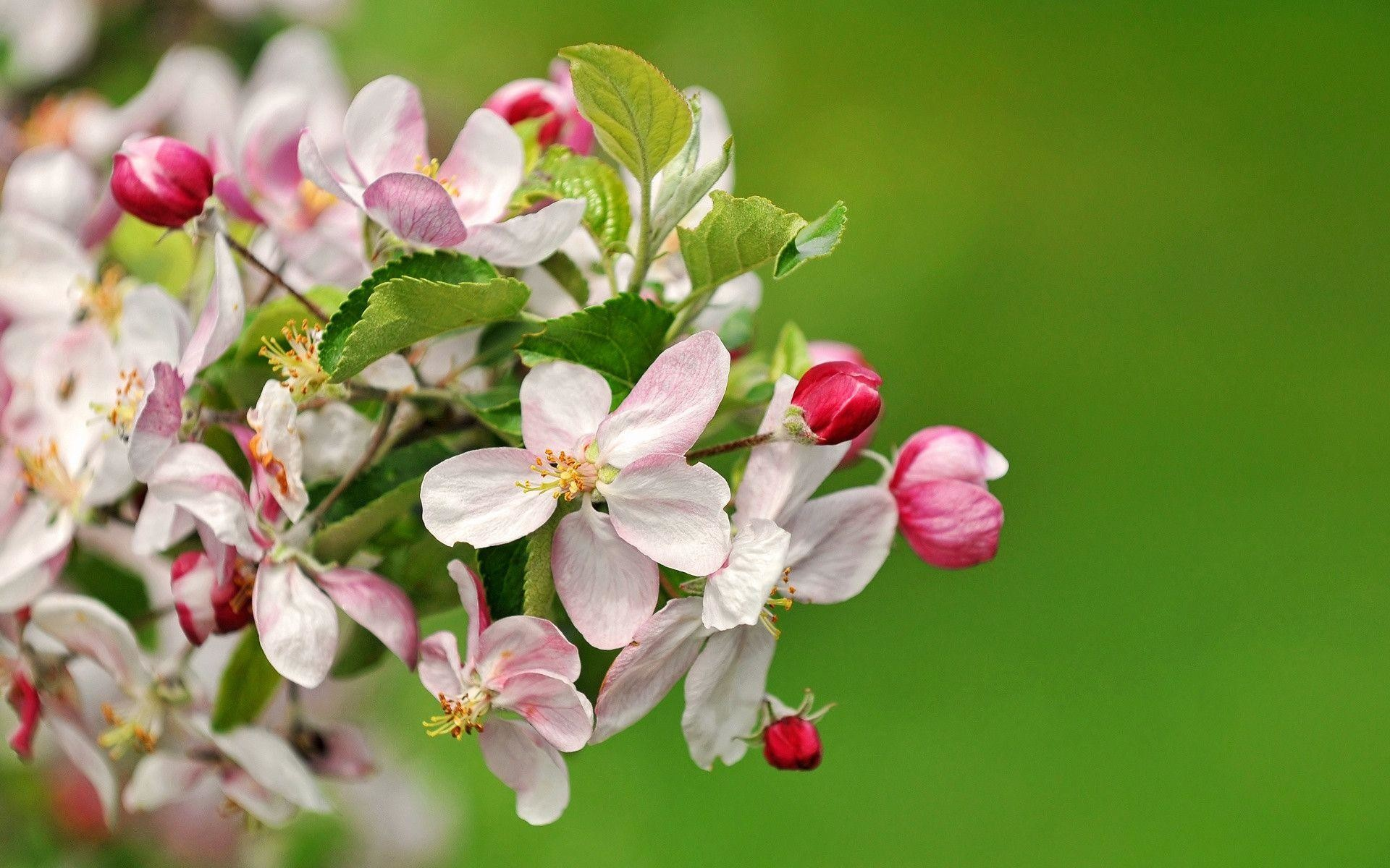 Wallpaper HD Apple Blossoms, Beautiful Apple Blossoms wallpapers .