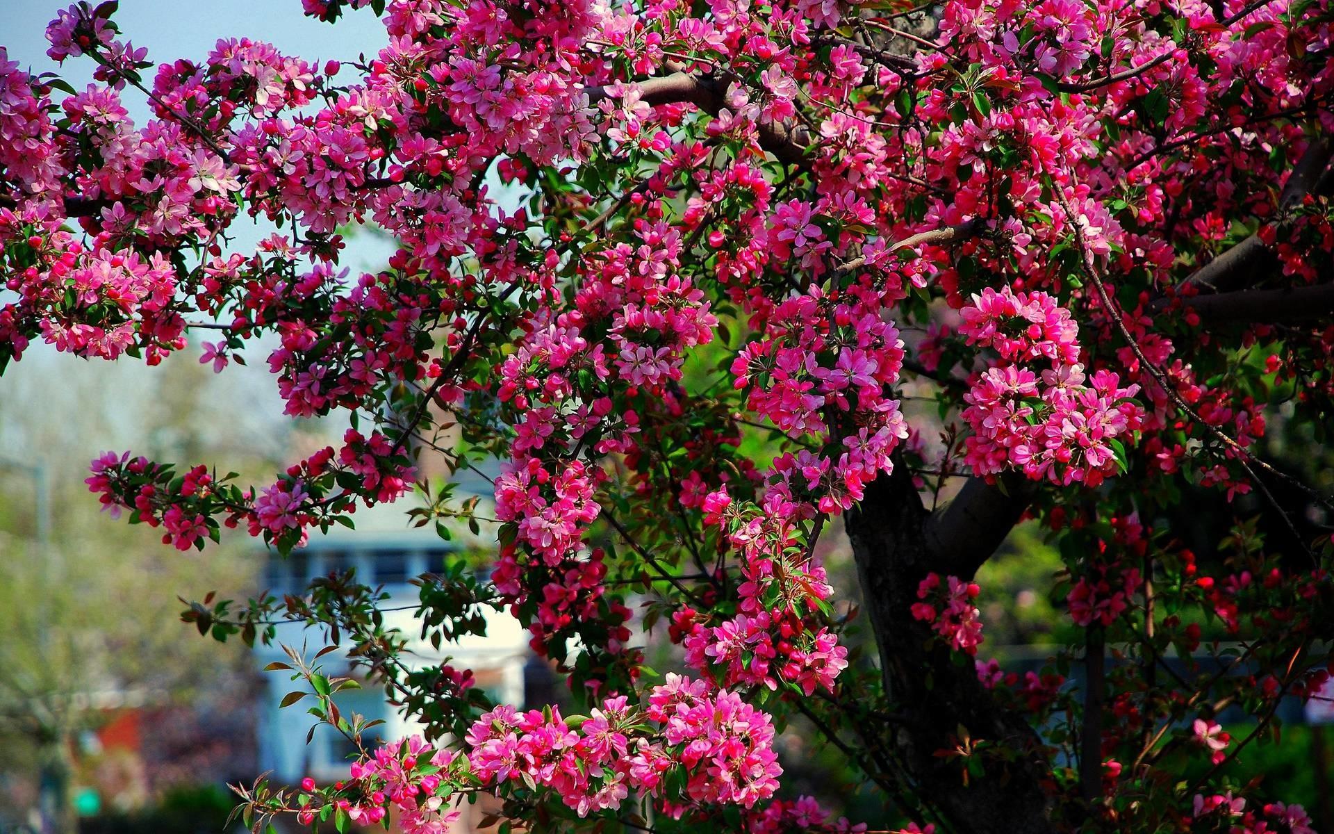 HD Apple Blossoms Wallpaper   Download Free – 55928