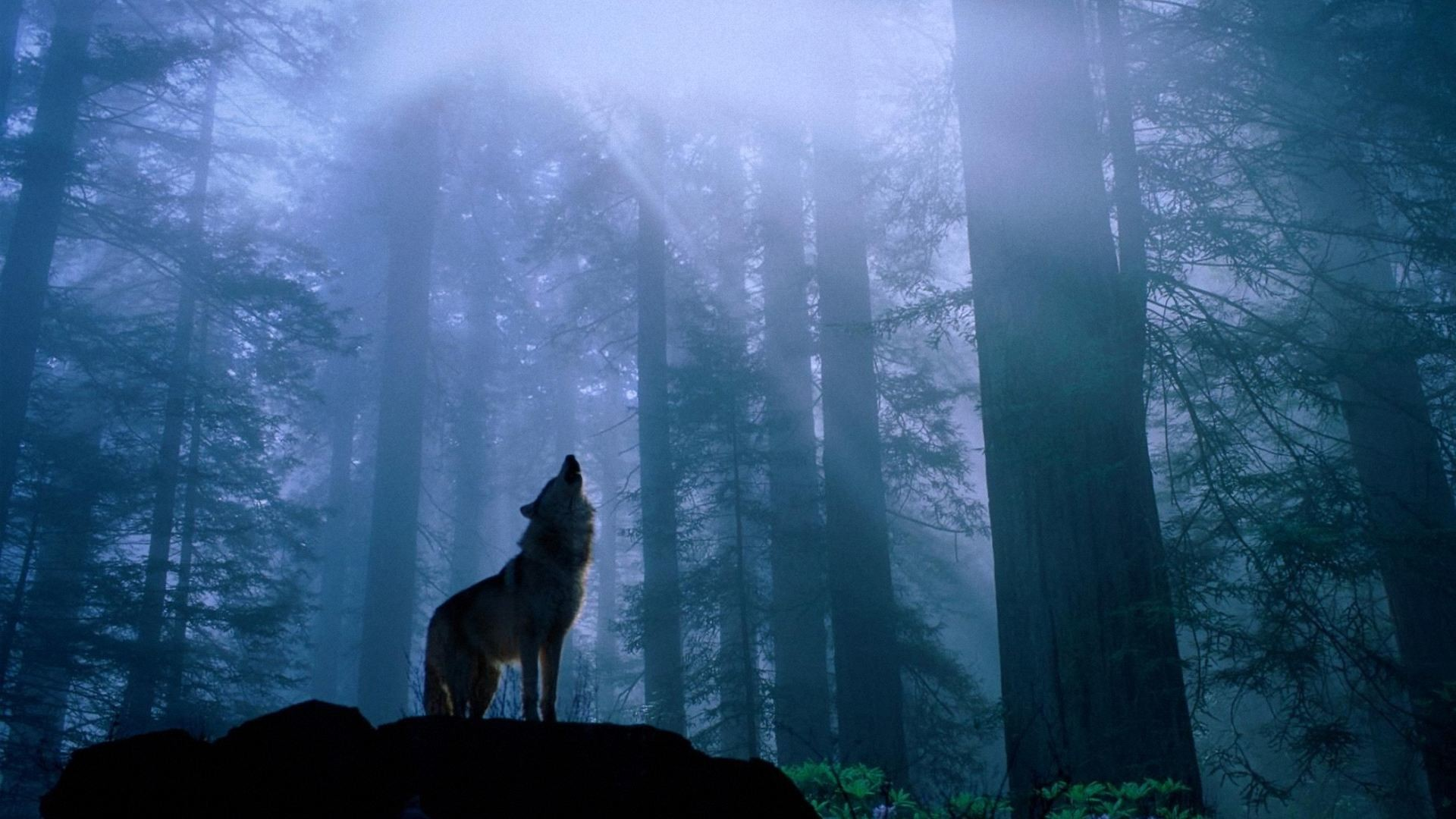 Wallpapers,Wolf Wallpapers & Pictures Free Download .