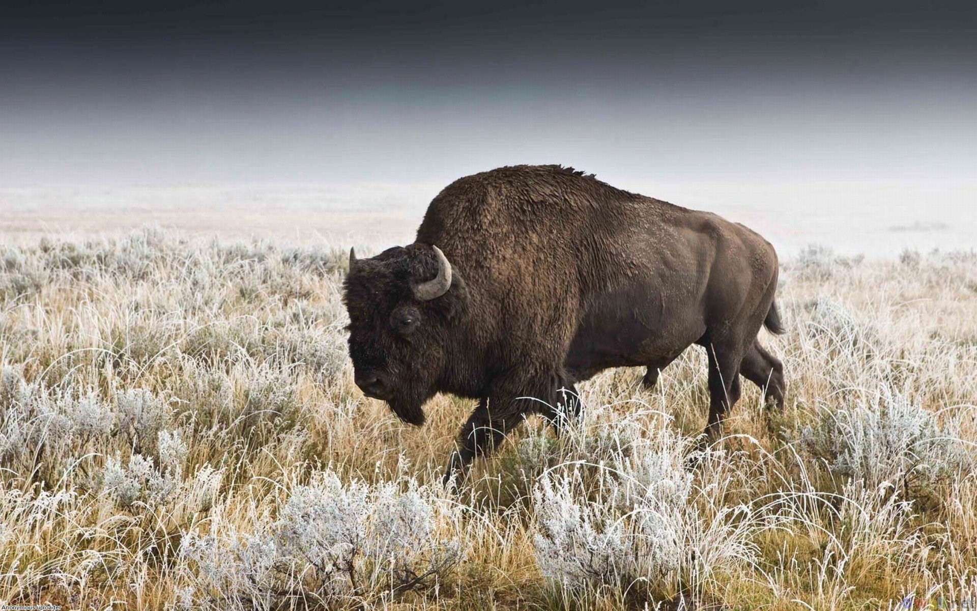 free screensaver wallpapers for american bison