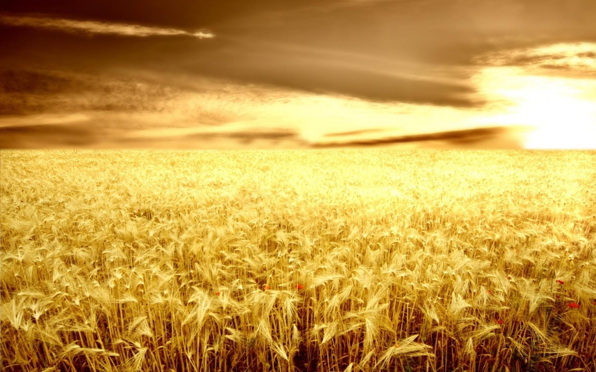 Golden Fields Wallpaper Landscape Nature Wallpapers in jpg format