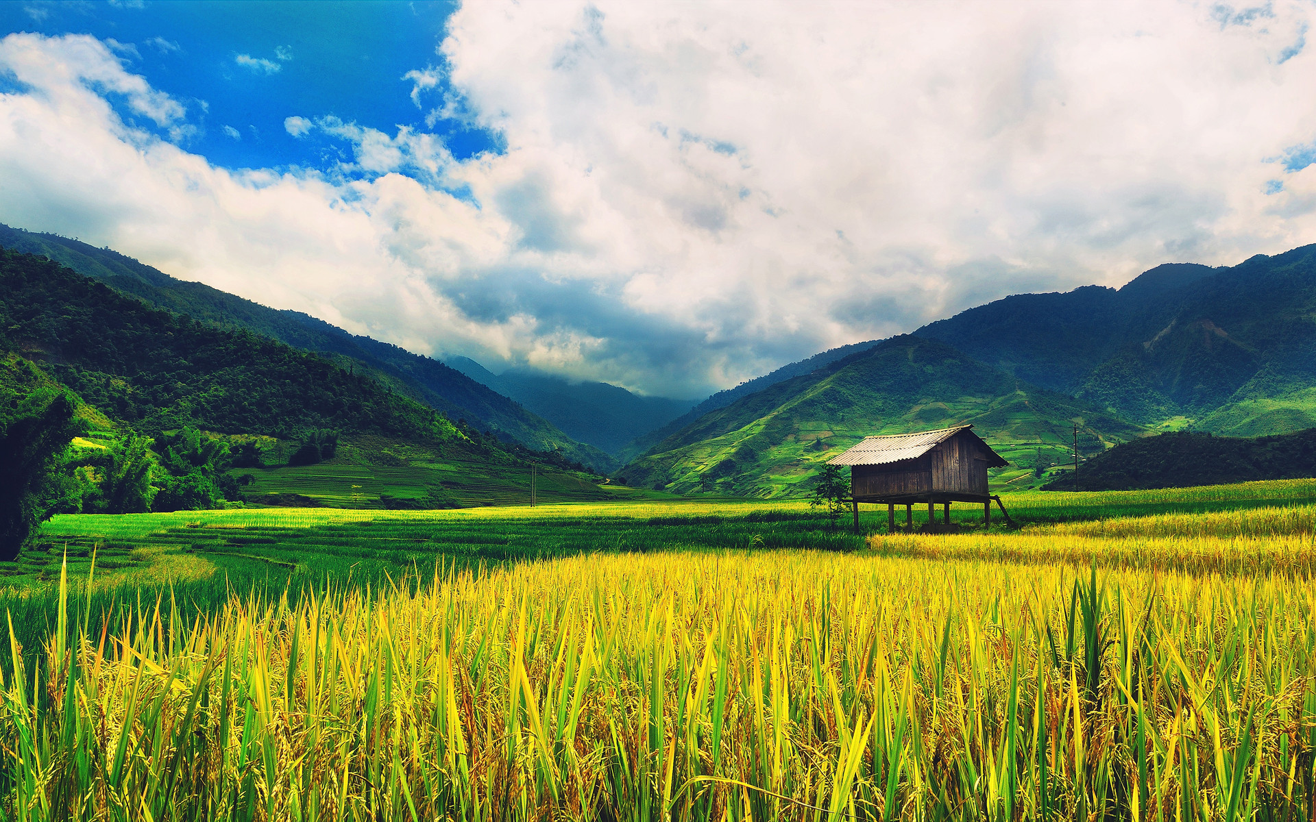 Rice Wallpaper Plants Nature (41 Wallpapers)