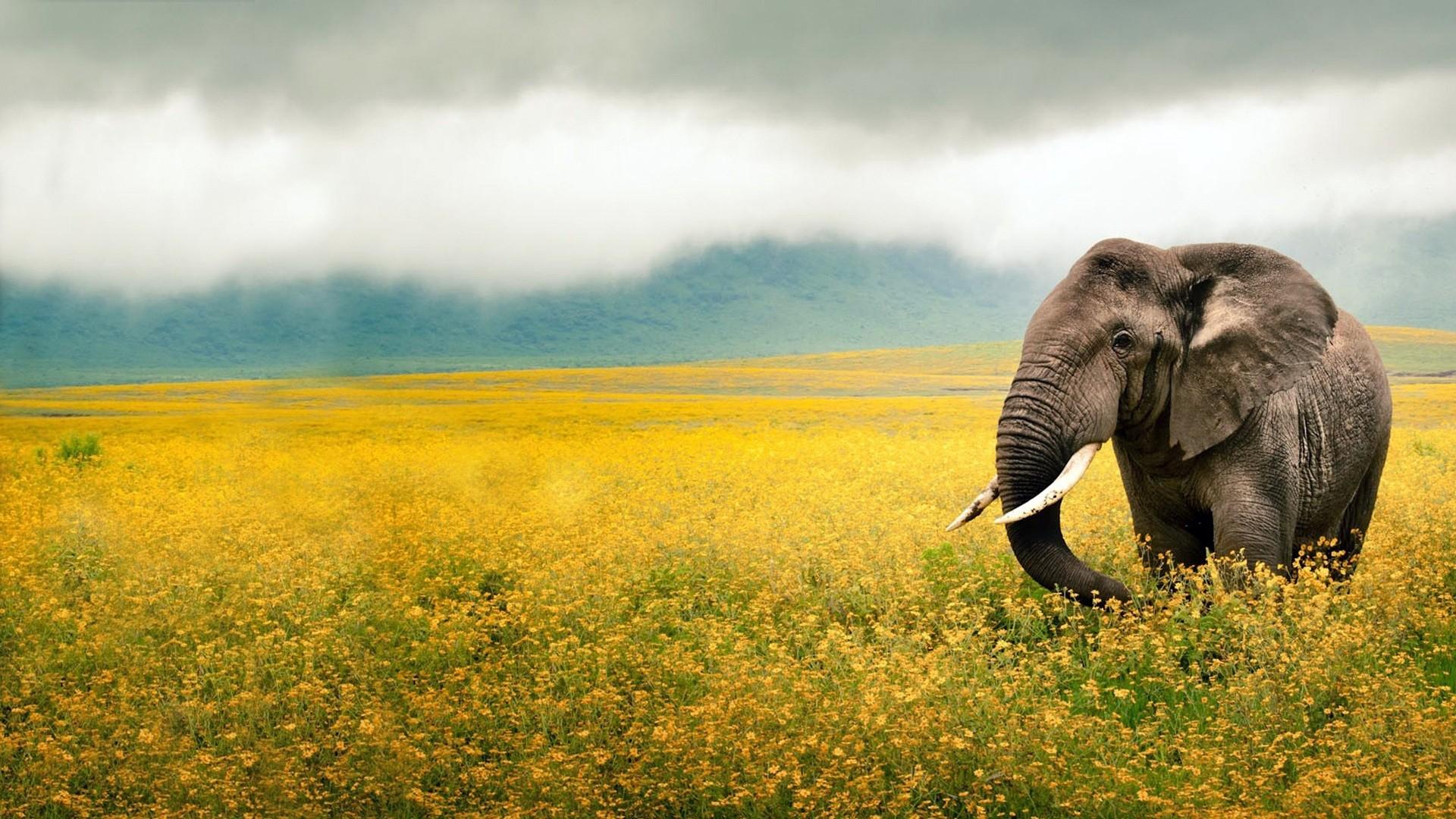 Elephant Full HD Wallpaper hd background hd screensavers hd wallpaper 1920p  1080p wallpaper full size images