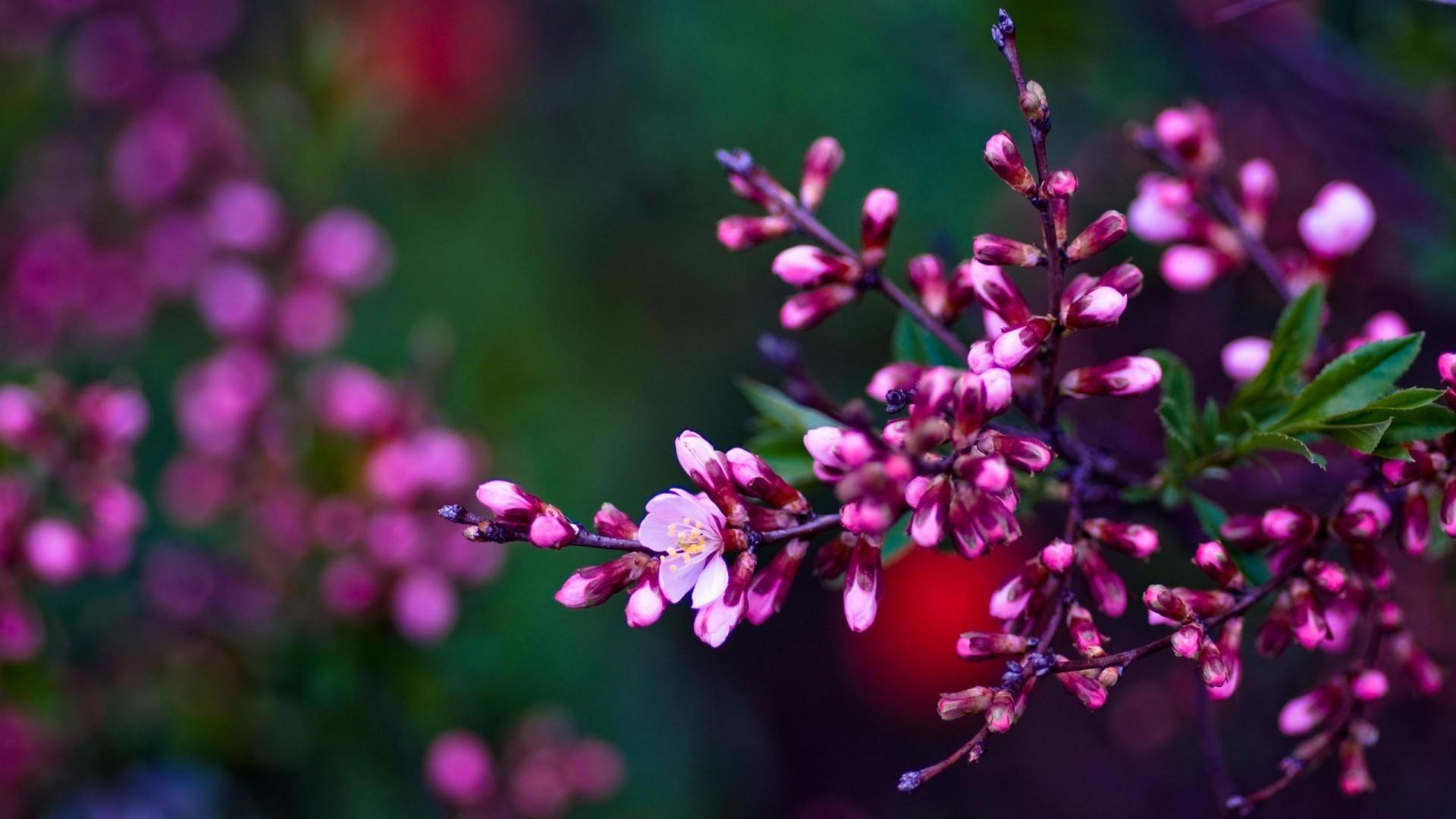 Pink Flowers Spring HD Desktop Wallpapers for Widescreen