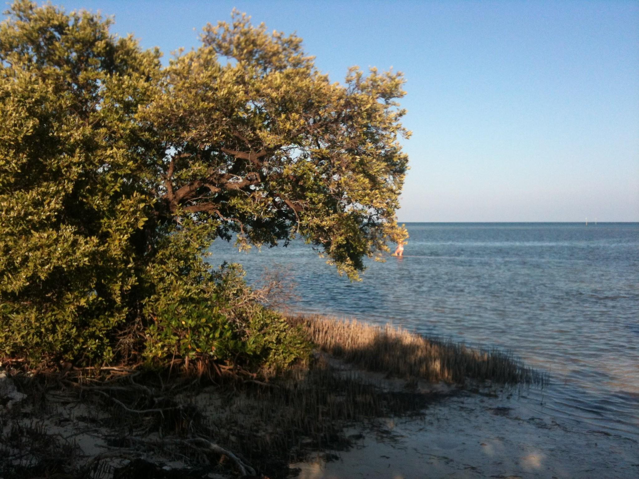 Black mangrove (Avicennia germinans) near Islamorada, Florida Keys