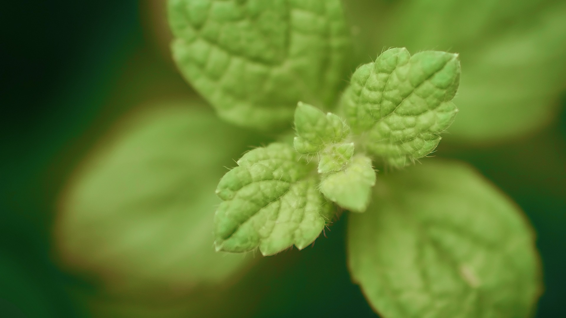Preview wallpaper mint, green, leaves, beautifully 1920×1080