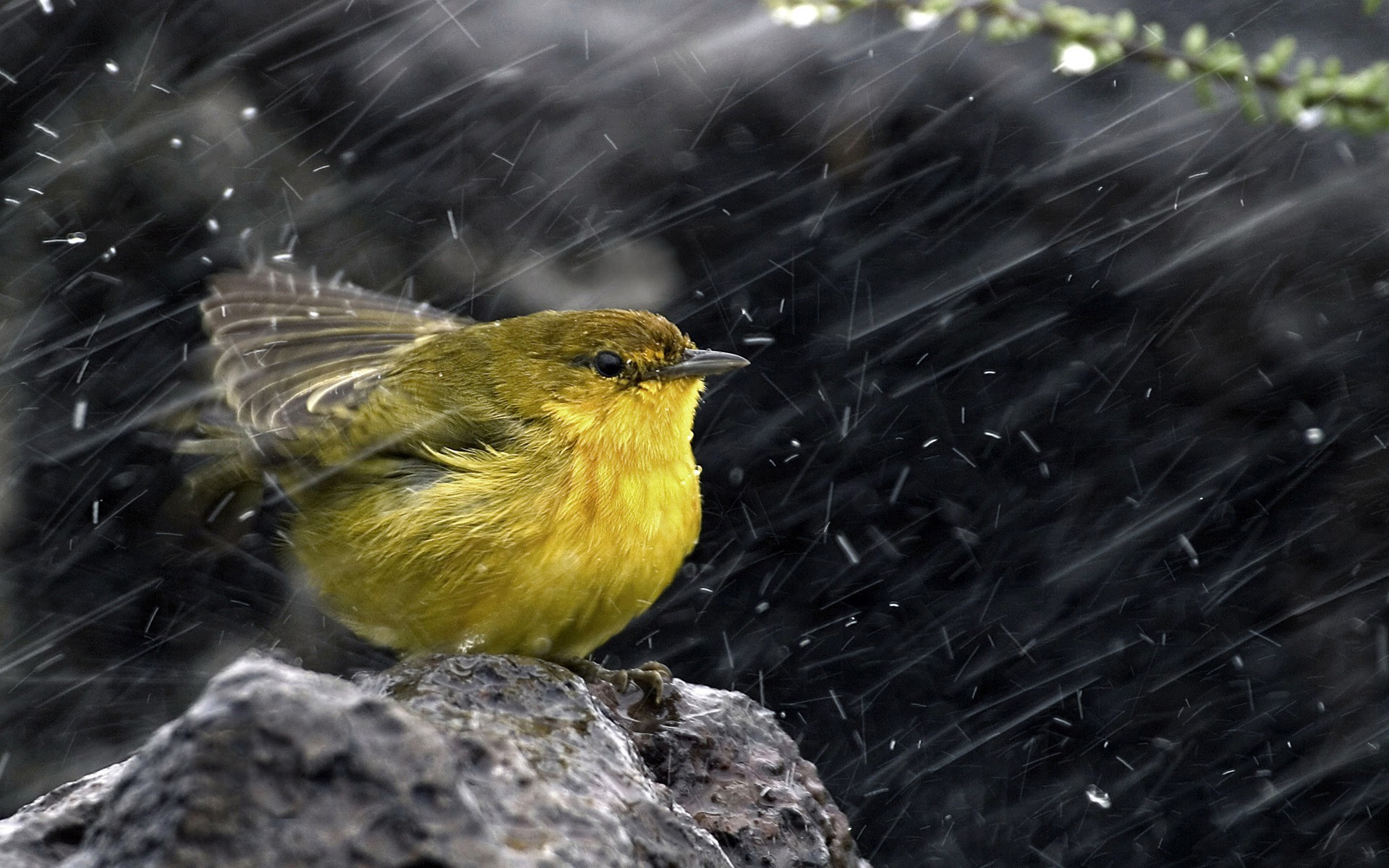 Bird In Rain HD Wallpaper