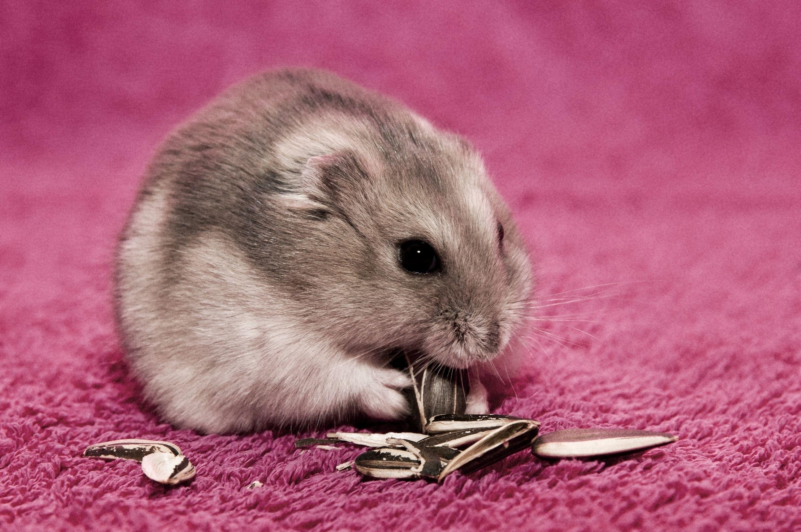 Cute Hamster Eating Wallpaper