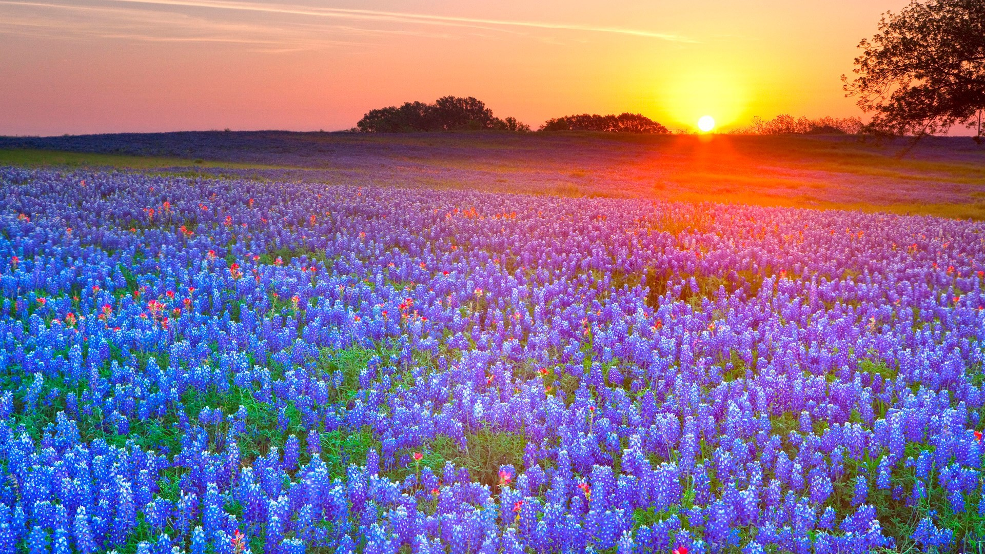 High Resolution Wallpapers = texas bluebonnets pic – texas bluebonnets  category