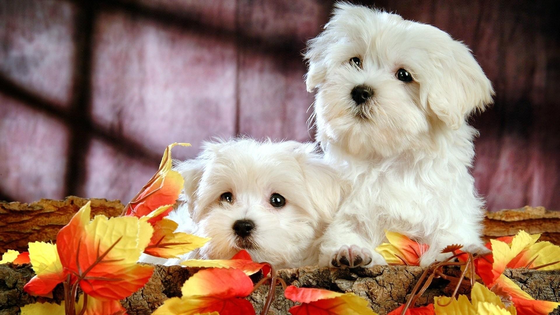 Cute Bichon Puppies HD Desktop Wallpaper   HD Desktop Wallpaper