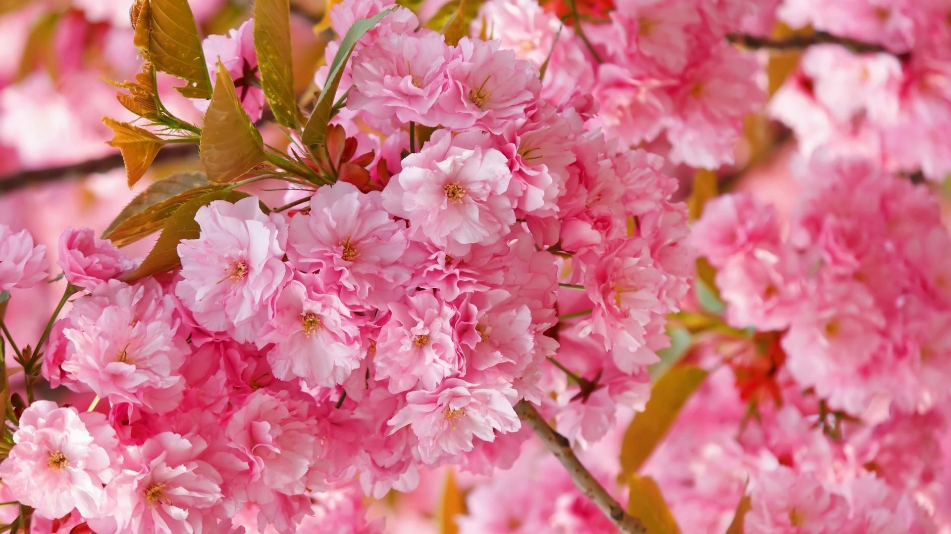 Cute-cherry-blossom-wallpapers-desktop