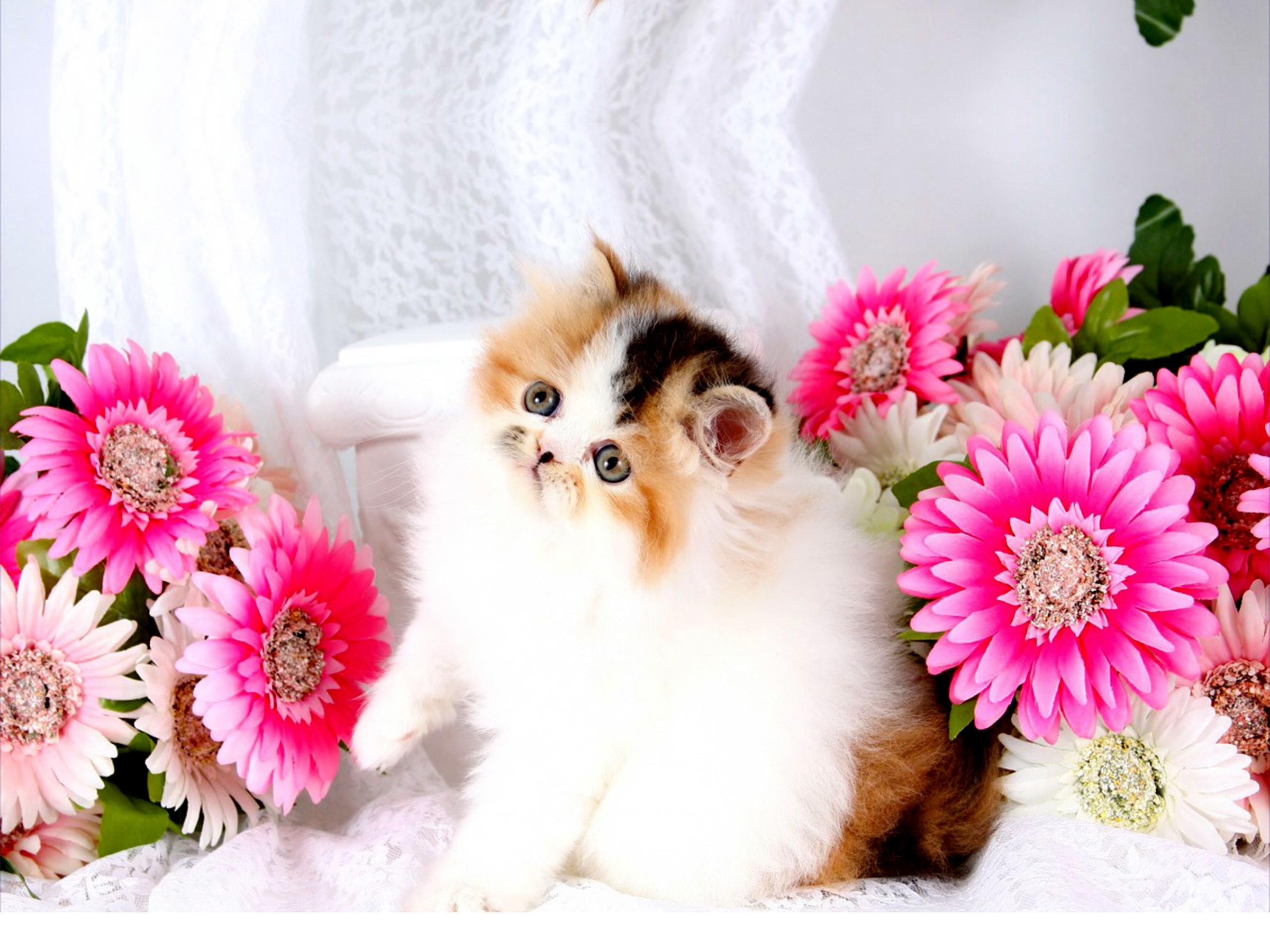 beautiful creative cute persian kitty kitten with flowers hd wallpaper  desktop