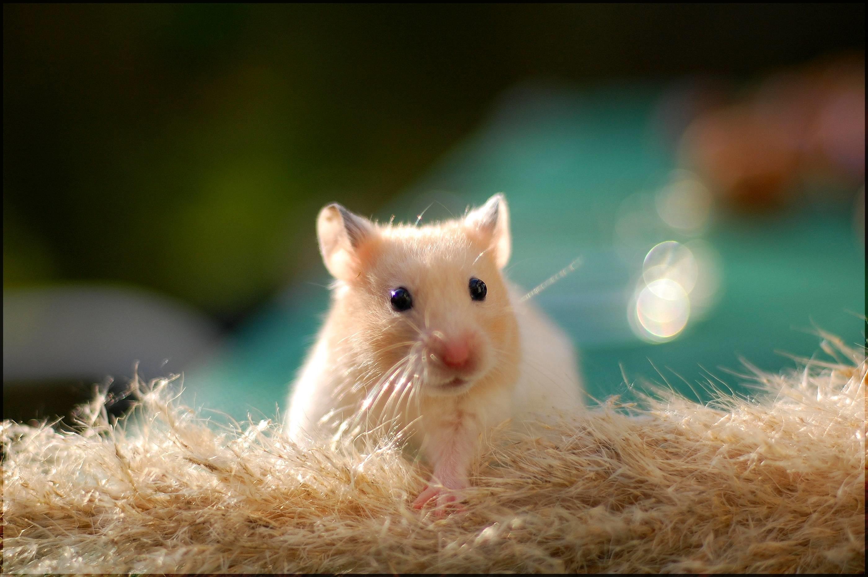 Cute Hamster Wallpaper Desktop #13155 Wallpaper   AWS HD Wallpapers