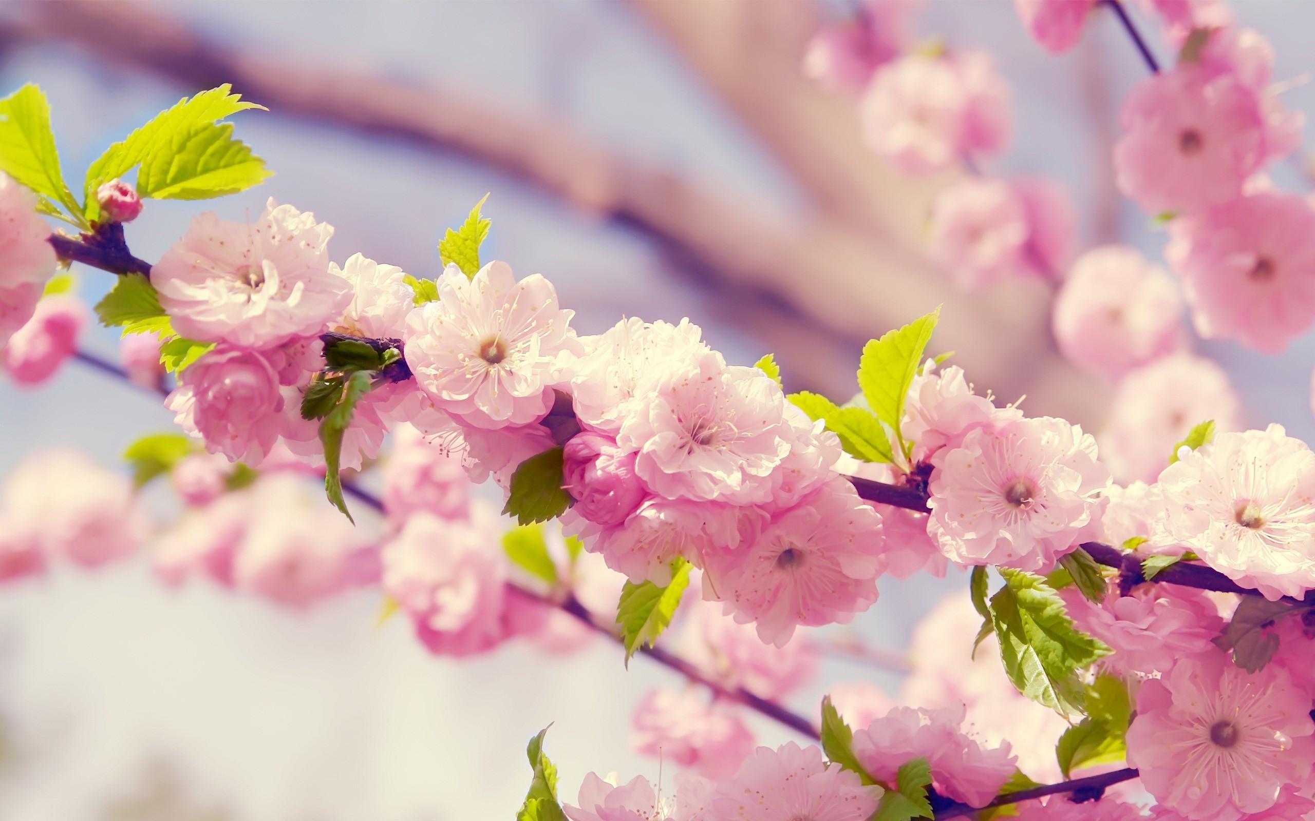 desktop flower blossom cherry hd photos download free